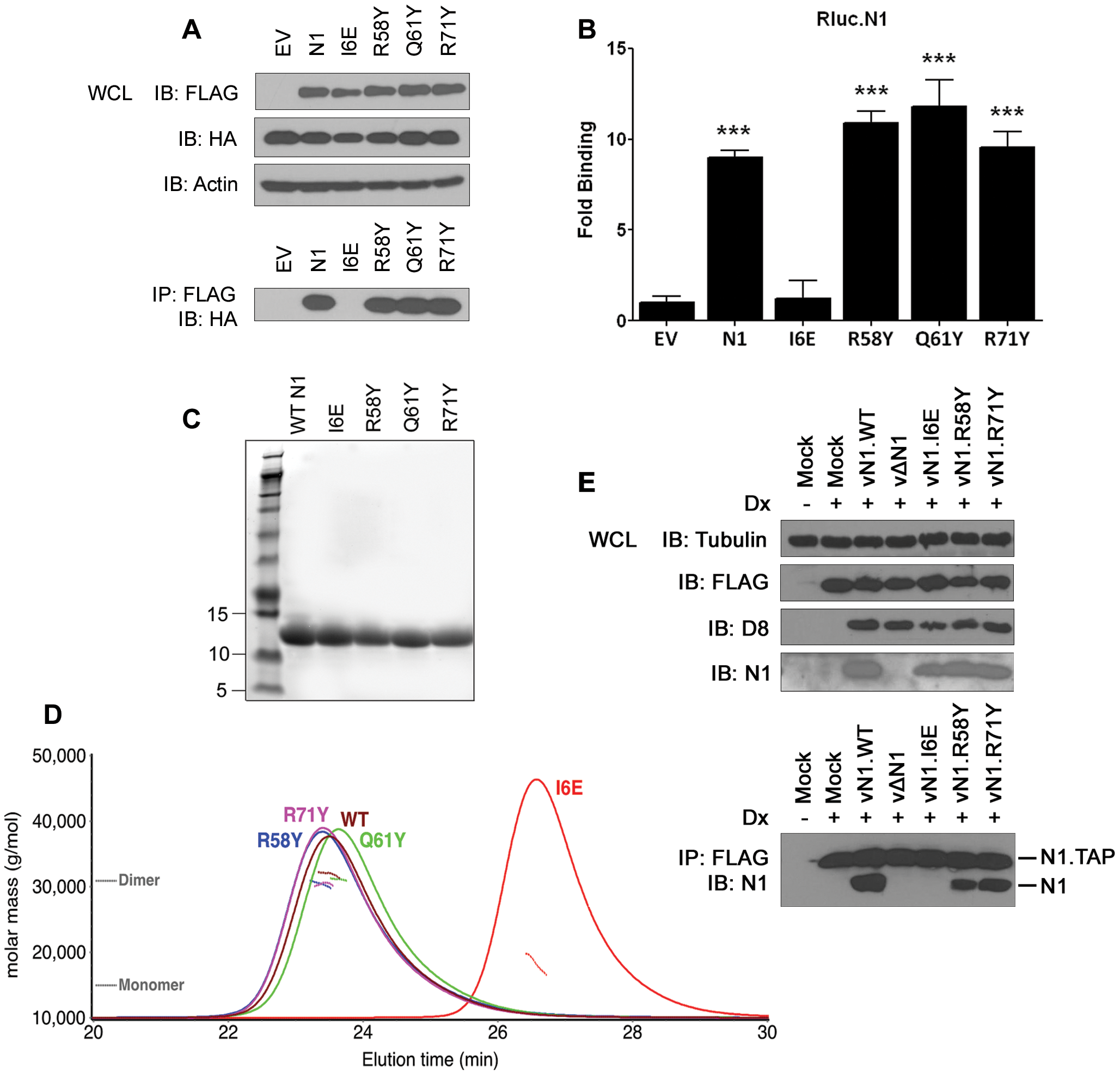Biochemical and biophysical characterization of mutant N1.