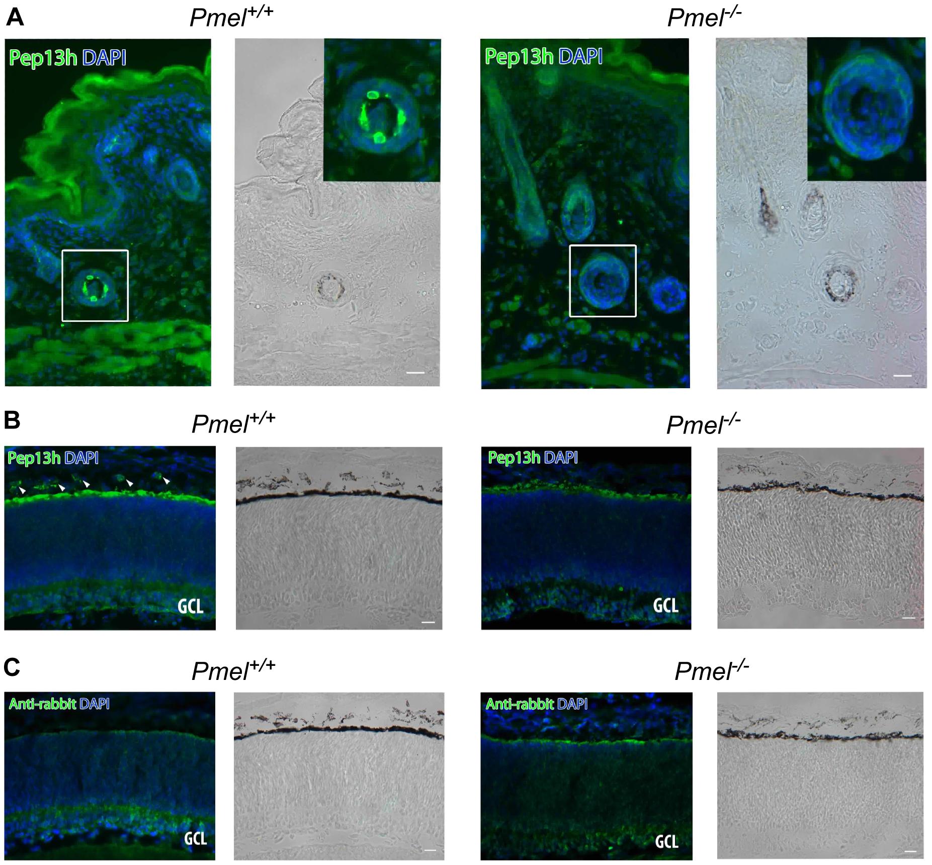 Immunohistochemistry of skin and retina from <i>Pmel<sup>+/+</sup></i>and <i>Pmel<sup>−/−</sup> </i>mice.