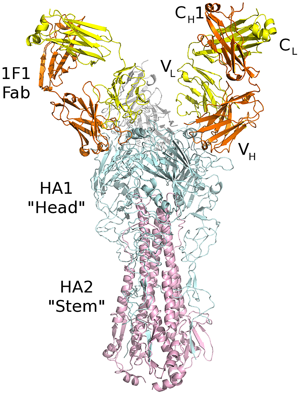 Crystal structure of 1F1-SC1918 complex.