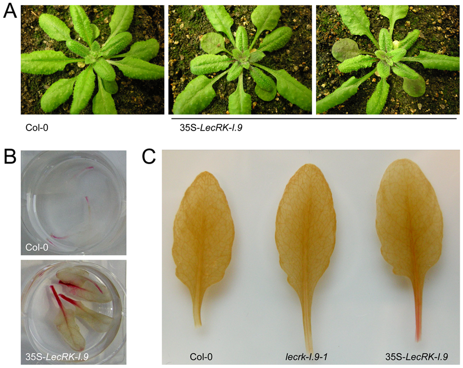 <i>LecRK-I.9</i> overexpression in Arabidopsis leads to changes in morphology and accumulation of anthocyanin and lignin.
