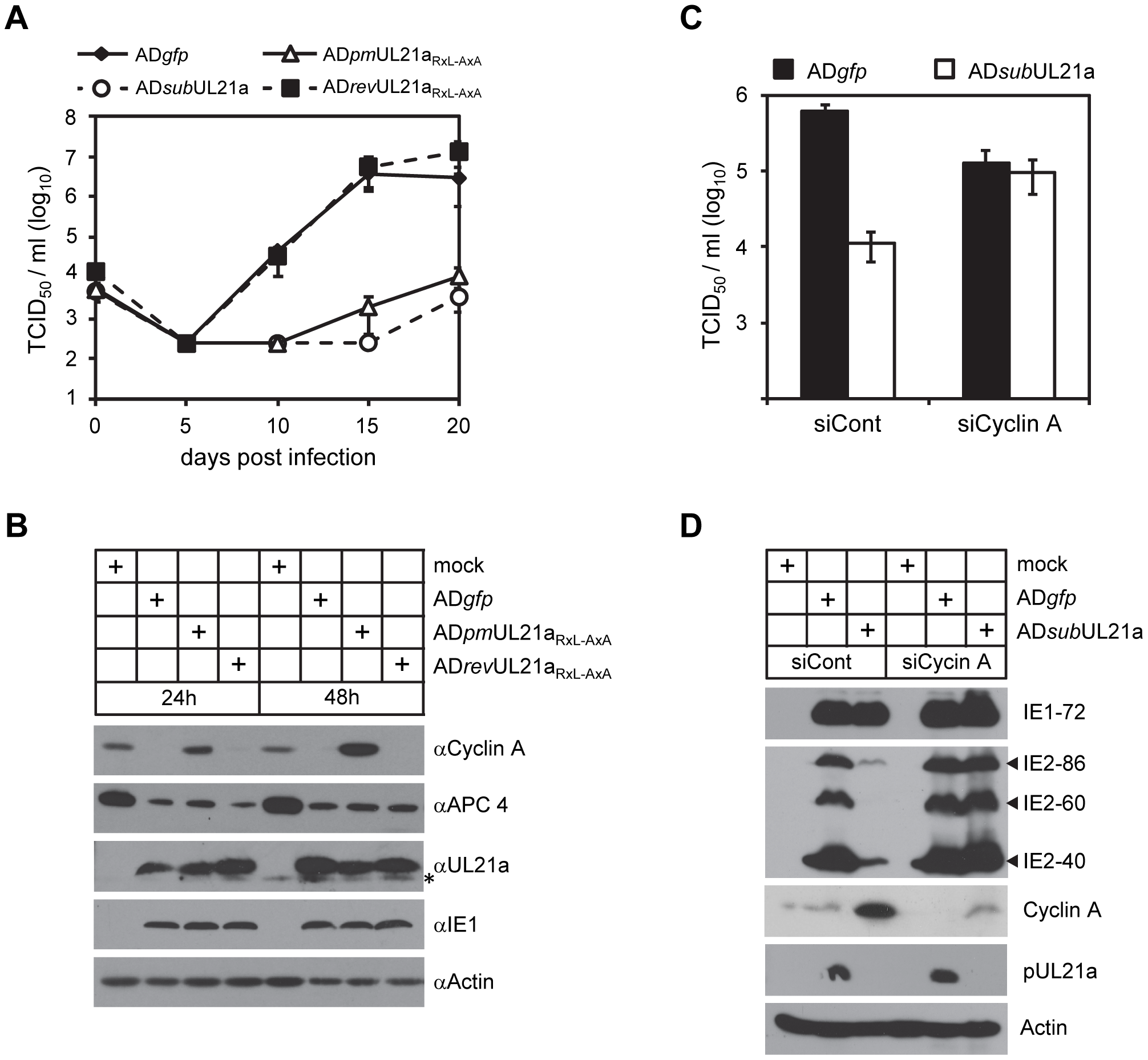 Depletion of cyclin A alleviates the requirement of pUL21a for HCMV replication.