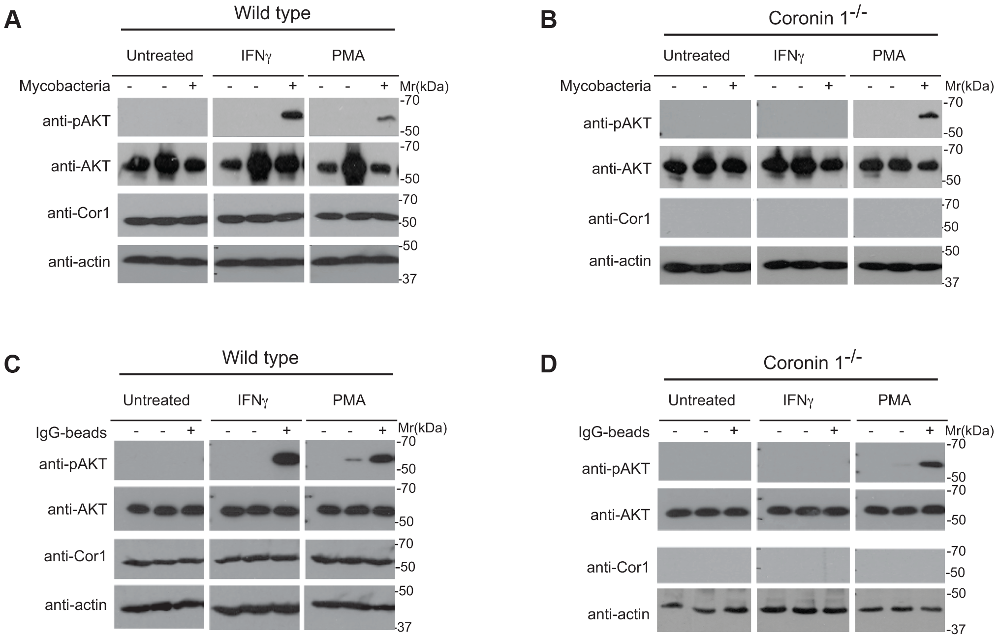 Induction of PI 3 kinase activity in the presence and absence of coronin 1.