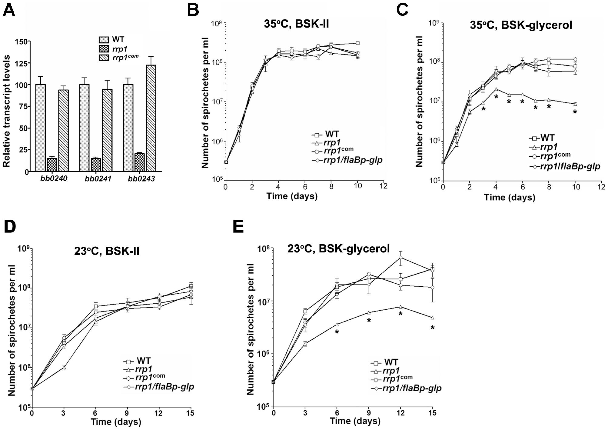 Rrp1 controls expression of the glycerol gene operon (<i>bb0240-0243)</i>.