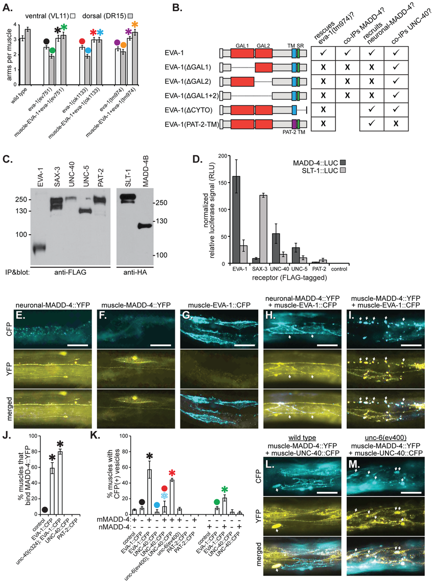 EVA-1 functions cell-autonomously in muscles and interacts with MADD-4.