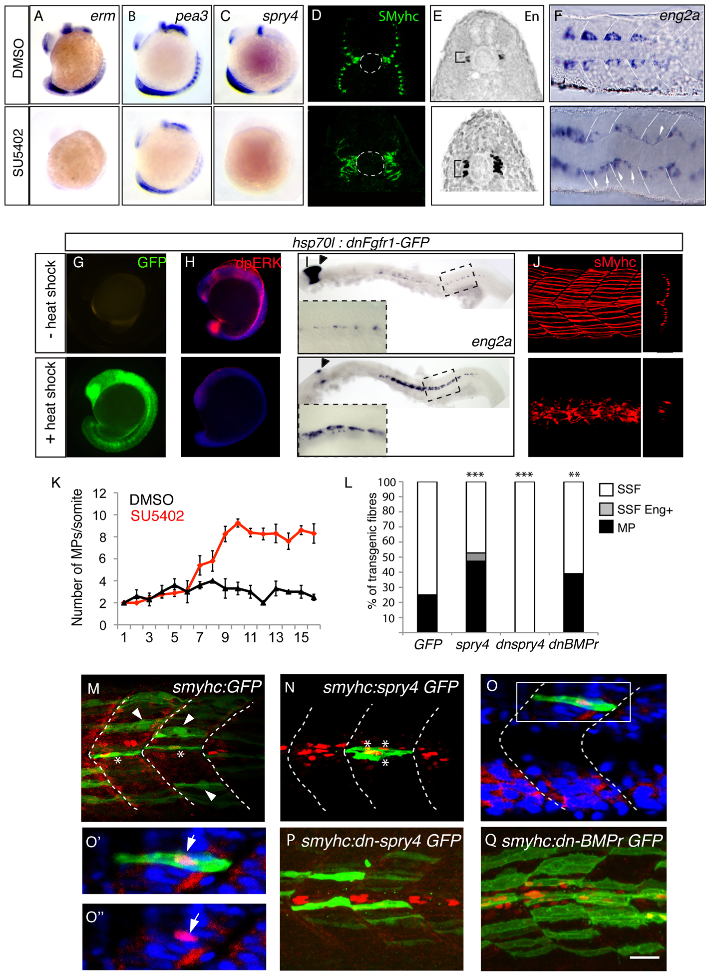 <i>sprouty4</i>-mediated FGF inhibition promotes muscle pioneer formation.
