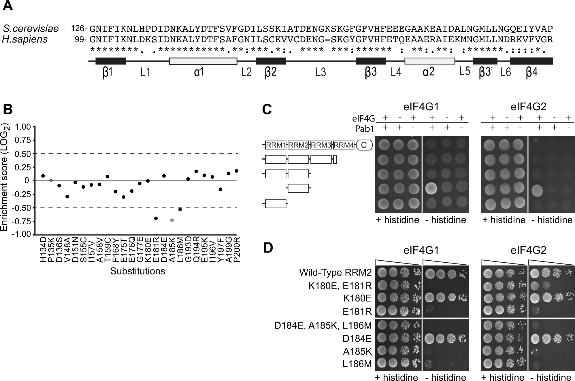 Functional consequences of single amino acid substitutions corresponding to residues found in the human RRM2 domain.
