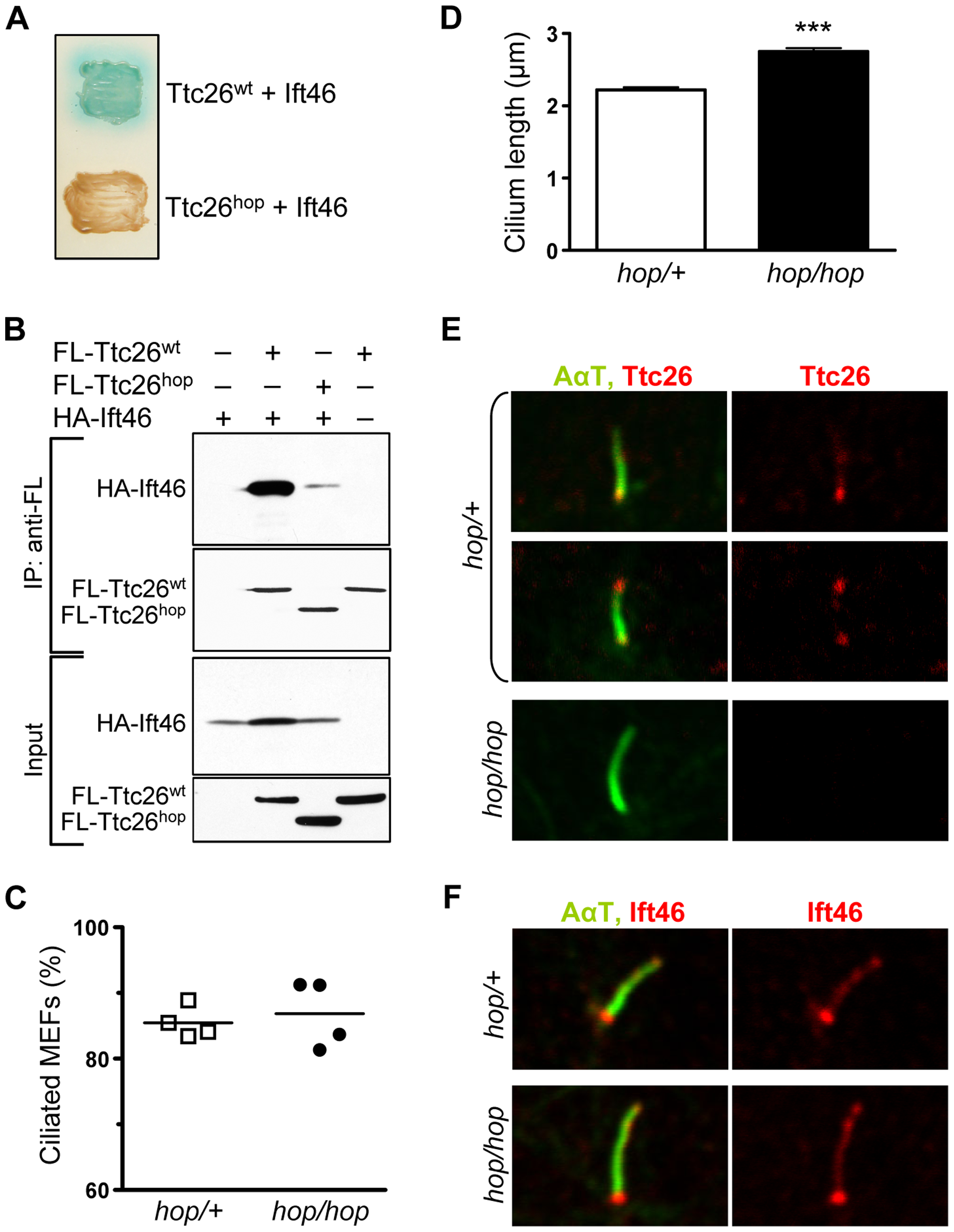 The <i>hop</i> mutation does not impair ciliogenesis or ciliary localization of the Ttc26-interacting protein Ift46.