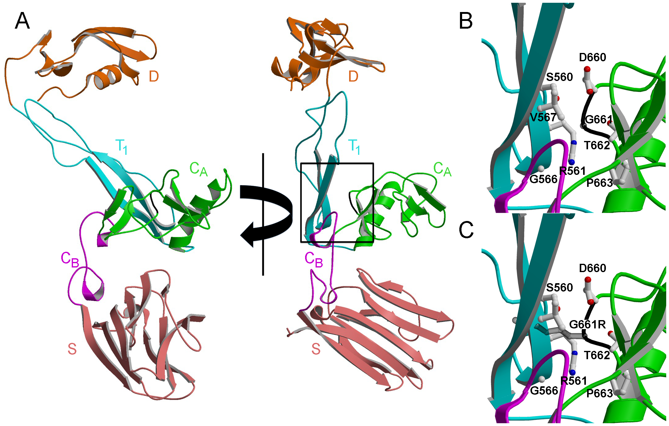 Structural modeling predicts disruption of the normal protein fold by the Gly661Arg variant of ADAMTS10.