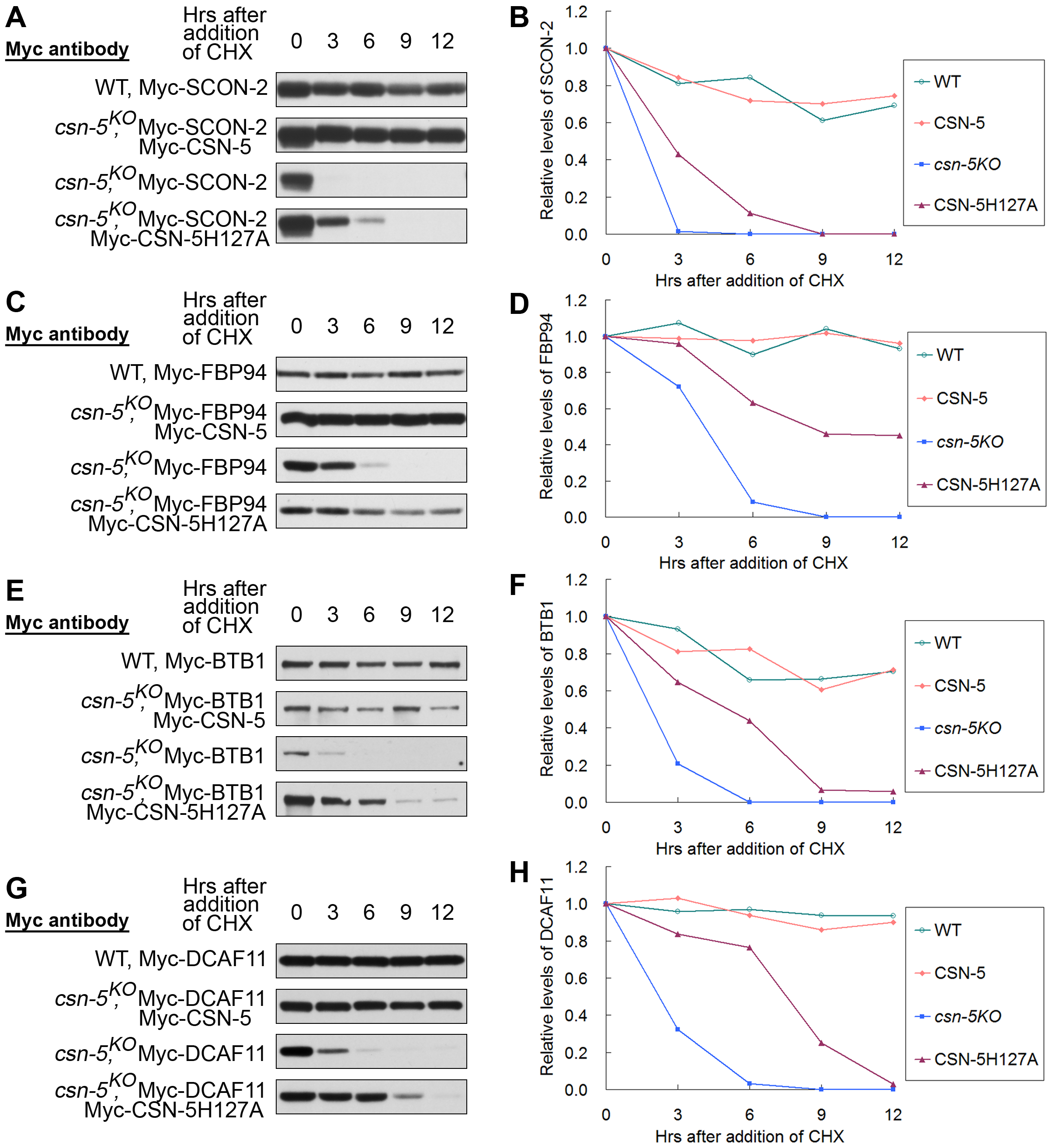 CSN containing mutant CSN-5 efficiently prevents degradation of substrate receptors of CRLs.