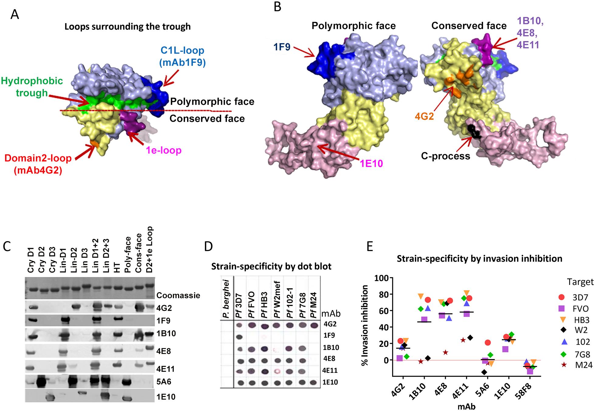 Mapping inhibitory monoclonal antibodies.