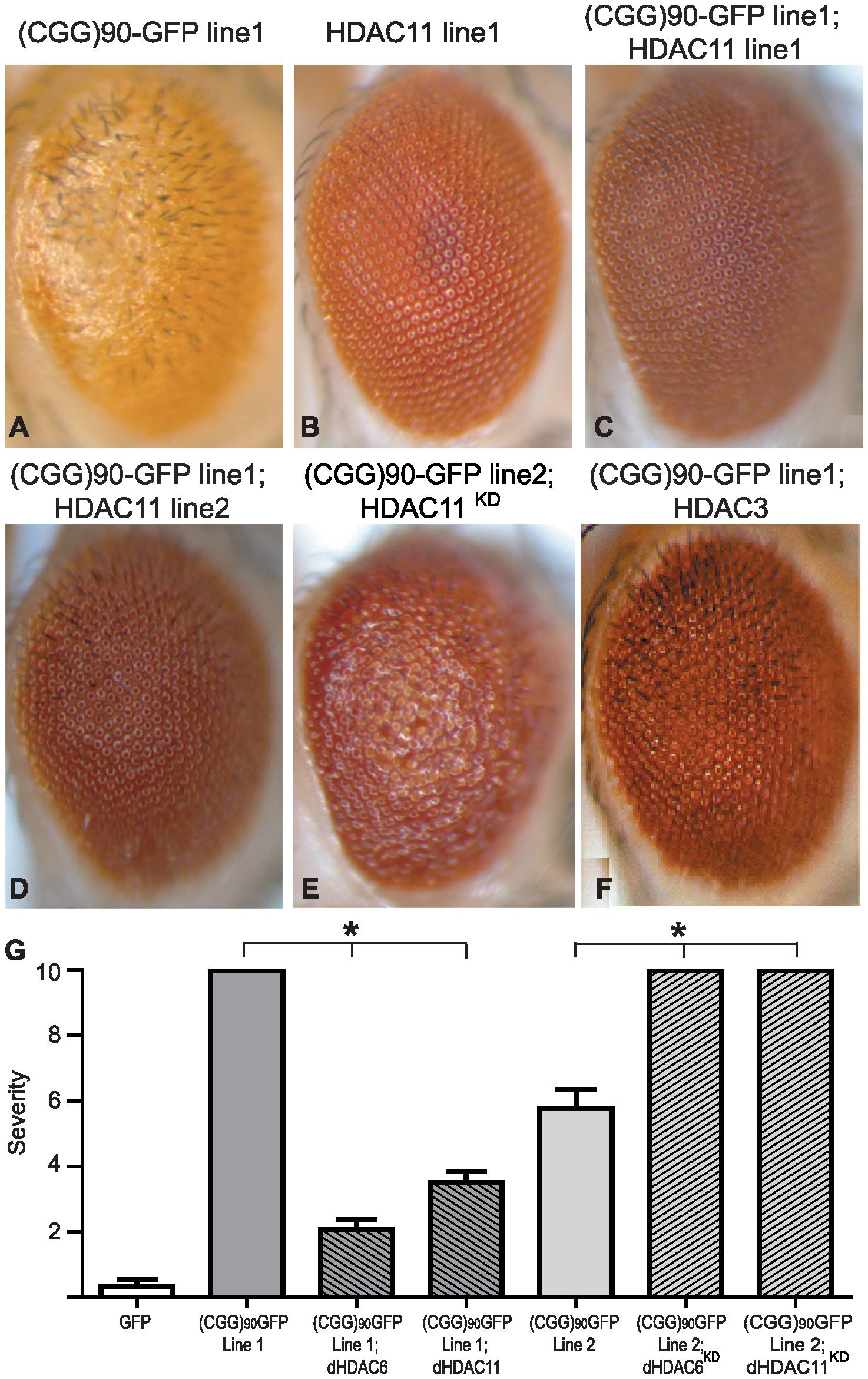 HDAC3 and HDAC11 also suppress (CGG)<sub>90</sub>-eGFP mRNA–induced neurodegeneration.
