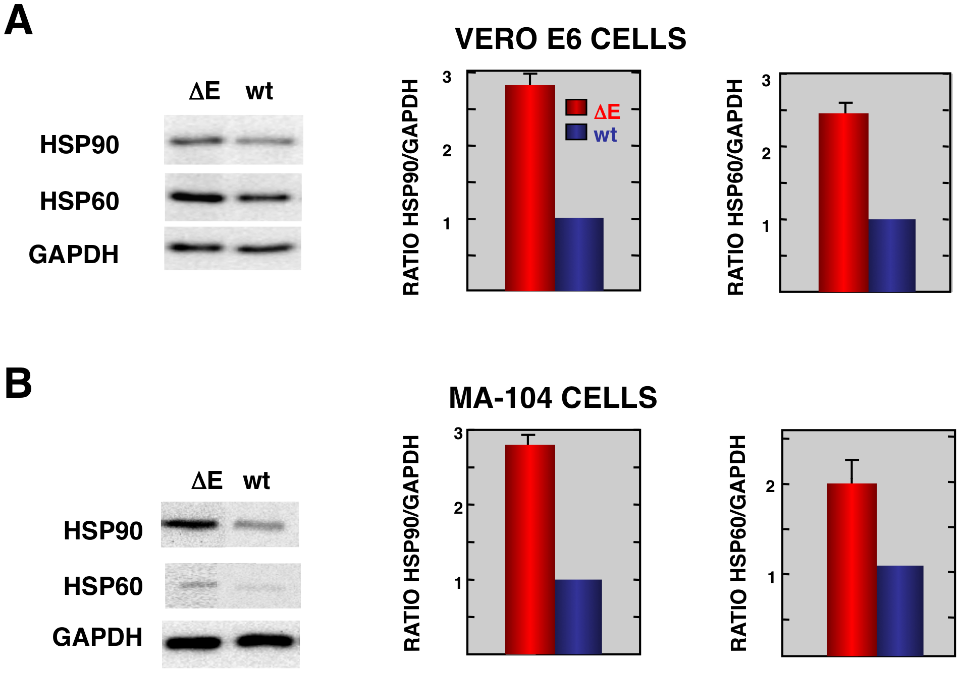 Stress response proteins are differentially expressed in rSARS-CoV-ΔE versus rSARS-CoV-infected cells.