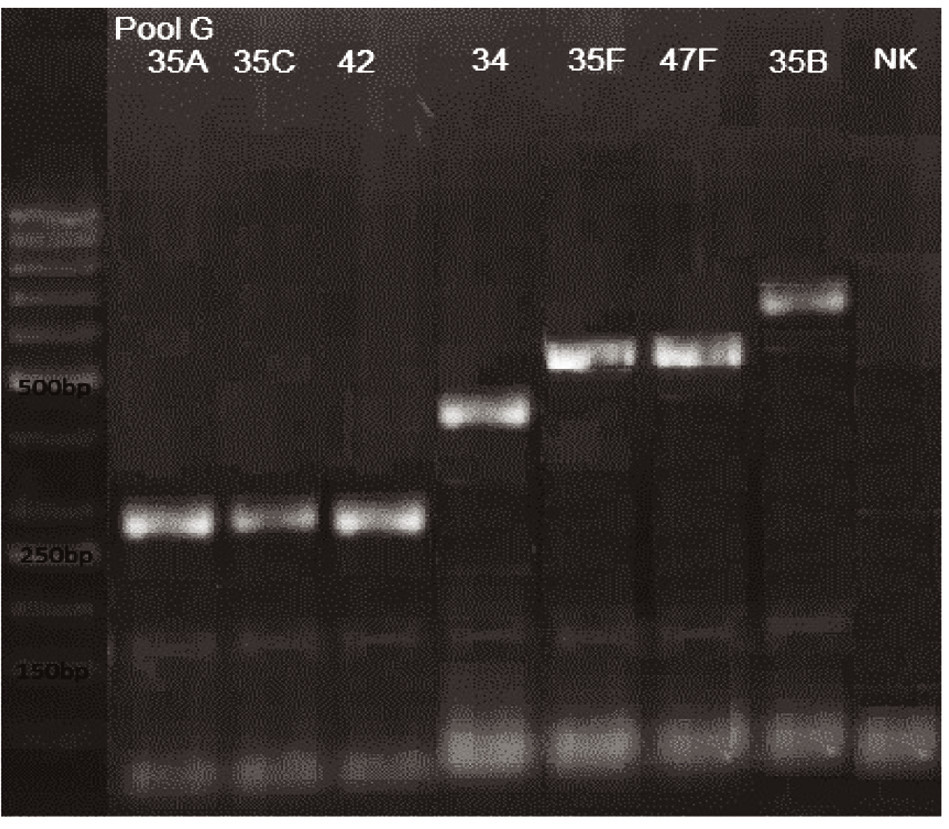 mPCR pool G Dráha 1: 50bp DNA Ladder Dráha 2: <i>S. pneumoniae</i> sérotyp 35A (280bp) Dráha 3: <i>S. pneumoniae</i> sérotyp 35C (280bp) Dráha 4: <i>S. pneumoniae</i> sérotyp 42 (280bp) Dráha 5: <i>S. pneumoniae</i> sérotyp 34 (408bp) Dráha 6: <i>S. pneumoniae</i> sérotyp 35F (517bp) Dráha 7: <i>S. pneumoniae</i> sérotyp 47F (517bp) Dráha 8: <i>S. pneumoniae</i> sérotyp 35B (677bp) Dráha 9: negativní kontrola Dráha 2–8: pozitivní produkt cpsA (160bp)<br> Fig. 7. mPCR pool G Lane 1: 50bp DNA Ladder Lane 2: <i>S. pneumoniae</i> serotype 35A (280bp) Lane 3: <i>S. pneumoniae</i> serotype 35C (280bp) Lane 4: <i>S. pneumoniae</i> serotype 42 (280bp) Lane 5: <i>S. pneumoniae</i> serotype 34 (408bp) Lane 6: <i>S. pneumoniae</i> serotype 35F (517bp) Lane 7: <i>S. pneumoniae</i> serotype 47F (517bp) Lane 8: <i>S. pneumoniae</i> serotype 35B (677bp) Lane 9: negative control Lanes 2–8: positive product cpsA (160bp)