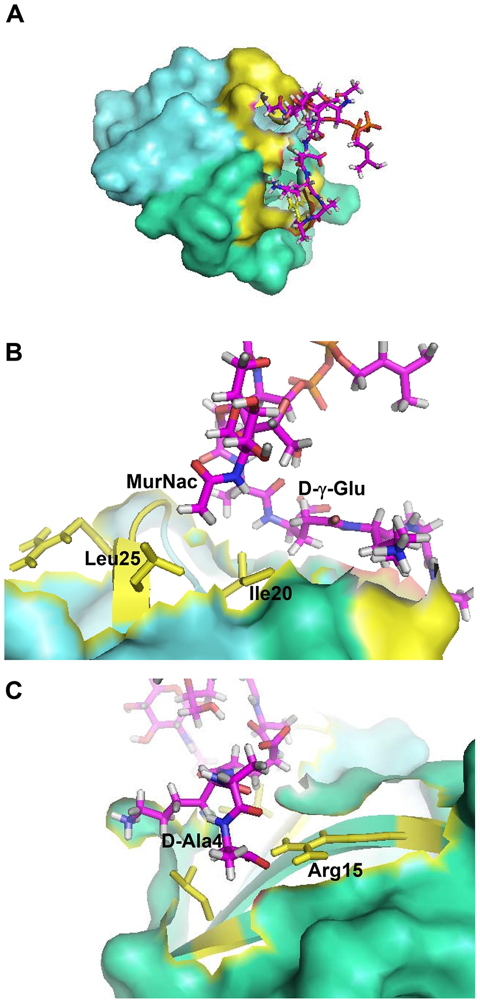Crystal structure-based model of the HNP-1-Lipid II complex obtained with HADDOCK.