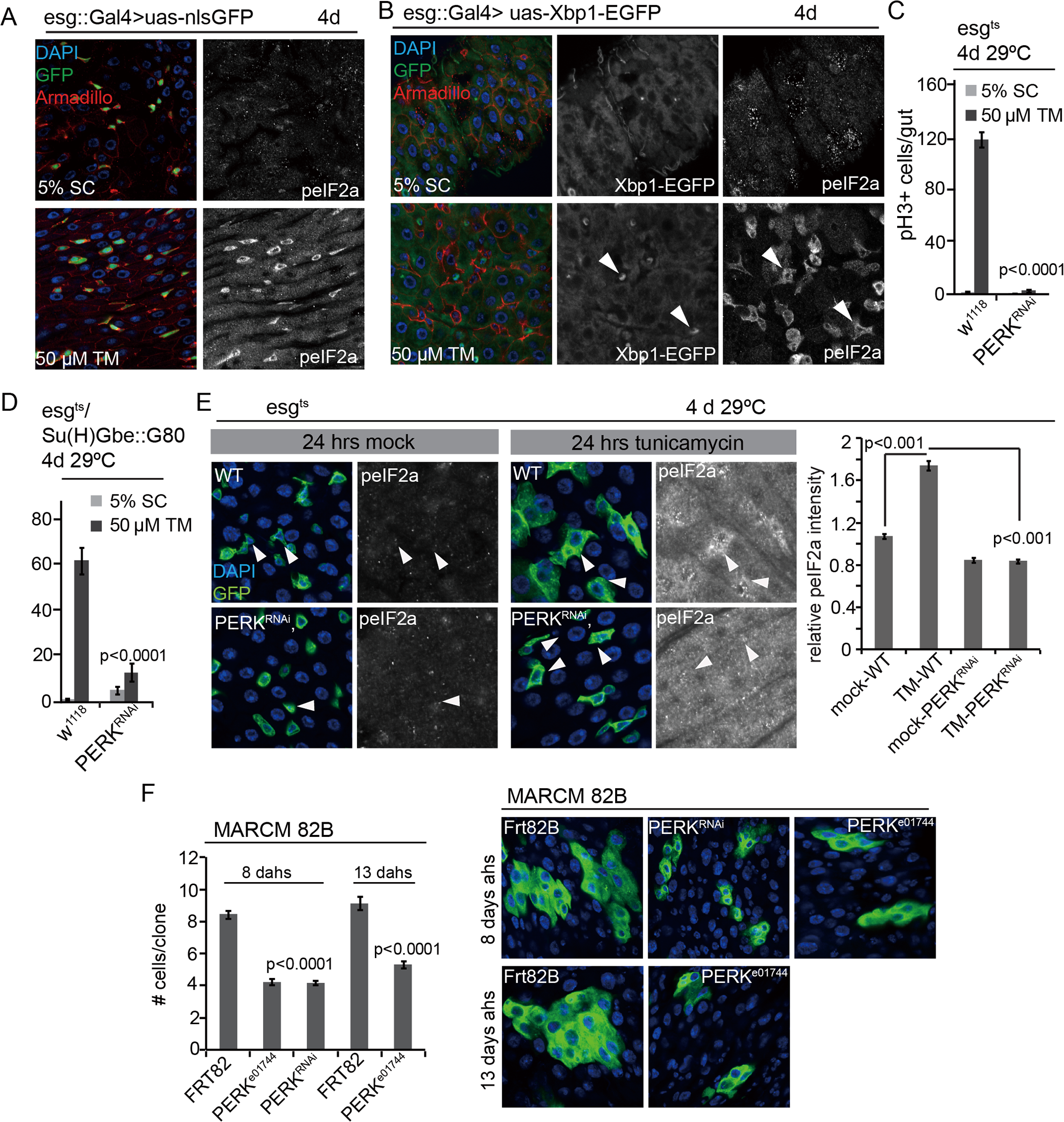 PERK integrates local and tissue-wide ER stress responses to regulate ISC proliferation.