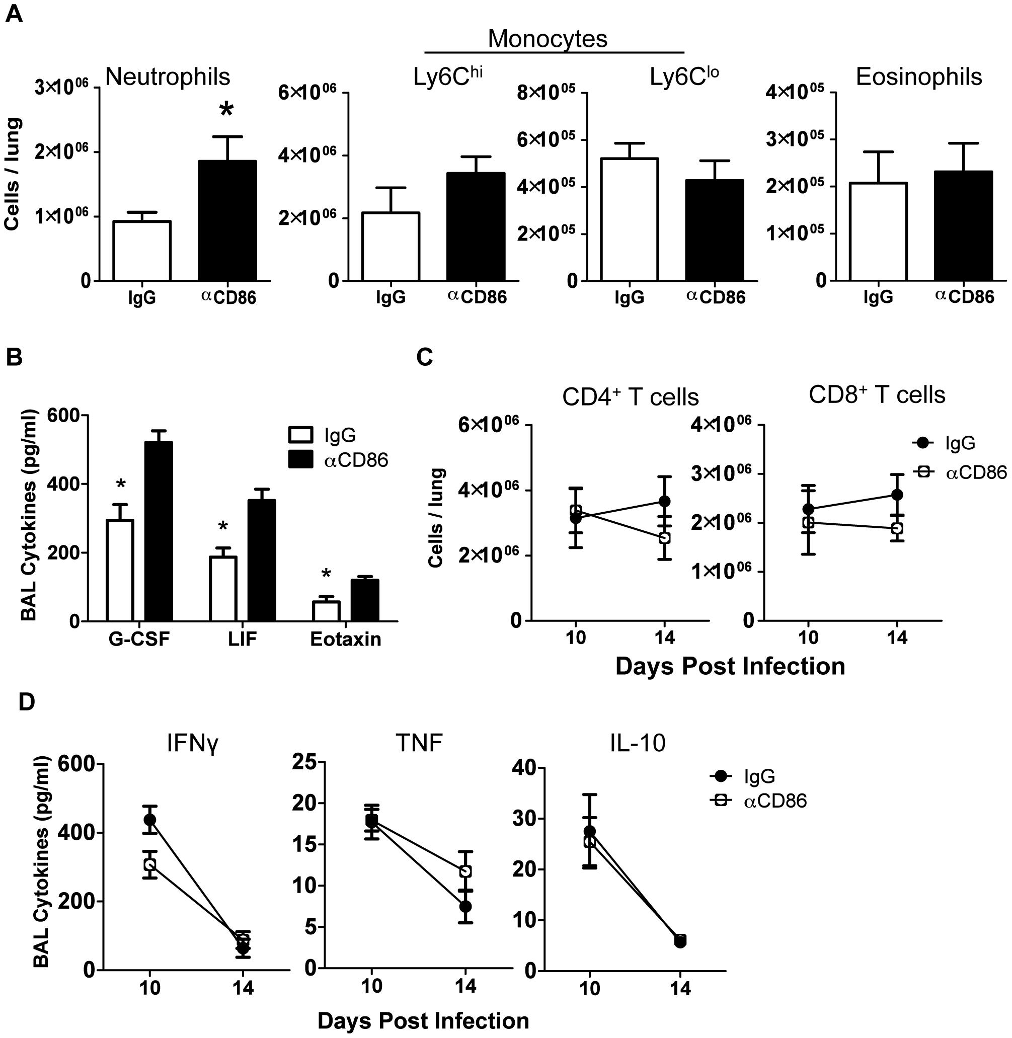 Innate pulmonary inflammation is increased after CD86 blockade.