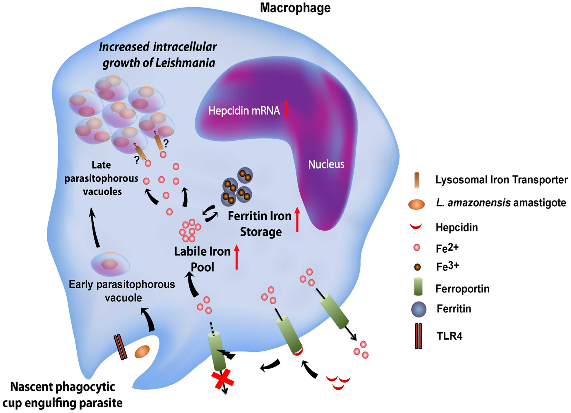 Proposed model for the <i>L. amazonensis</i>-induced downregulation of ferroportin expression in macrophages.