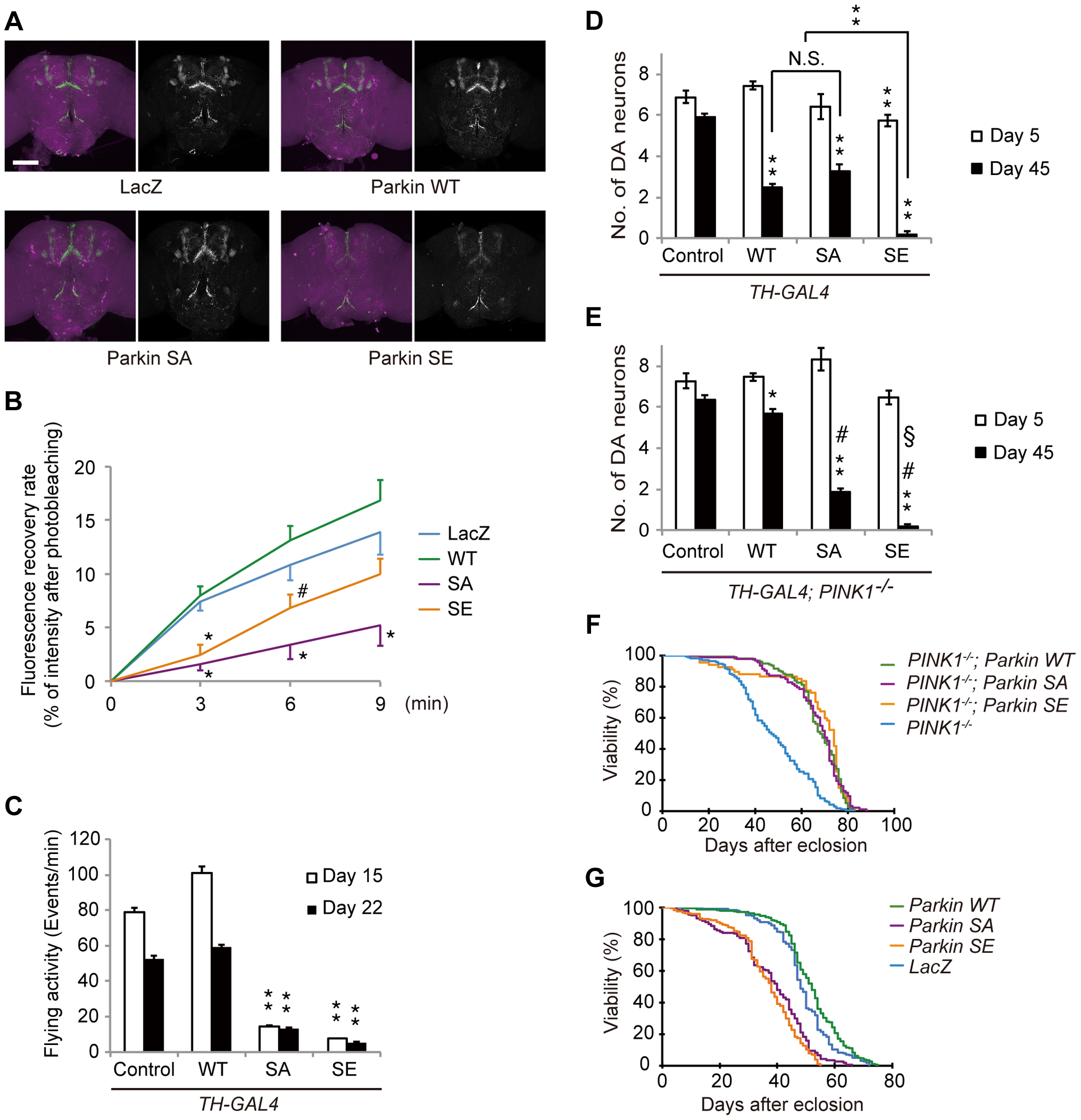 Parkin phosphorylation modulates dopaminergic function and survivability of DA neurons.