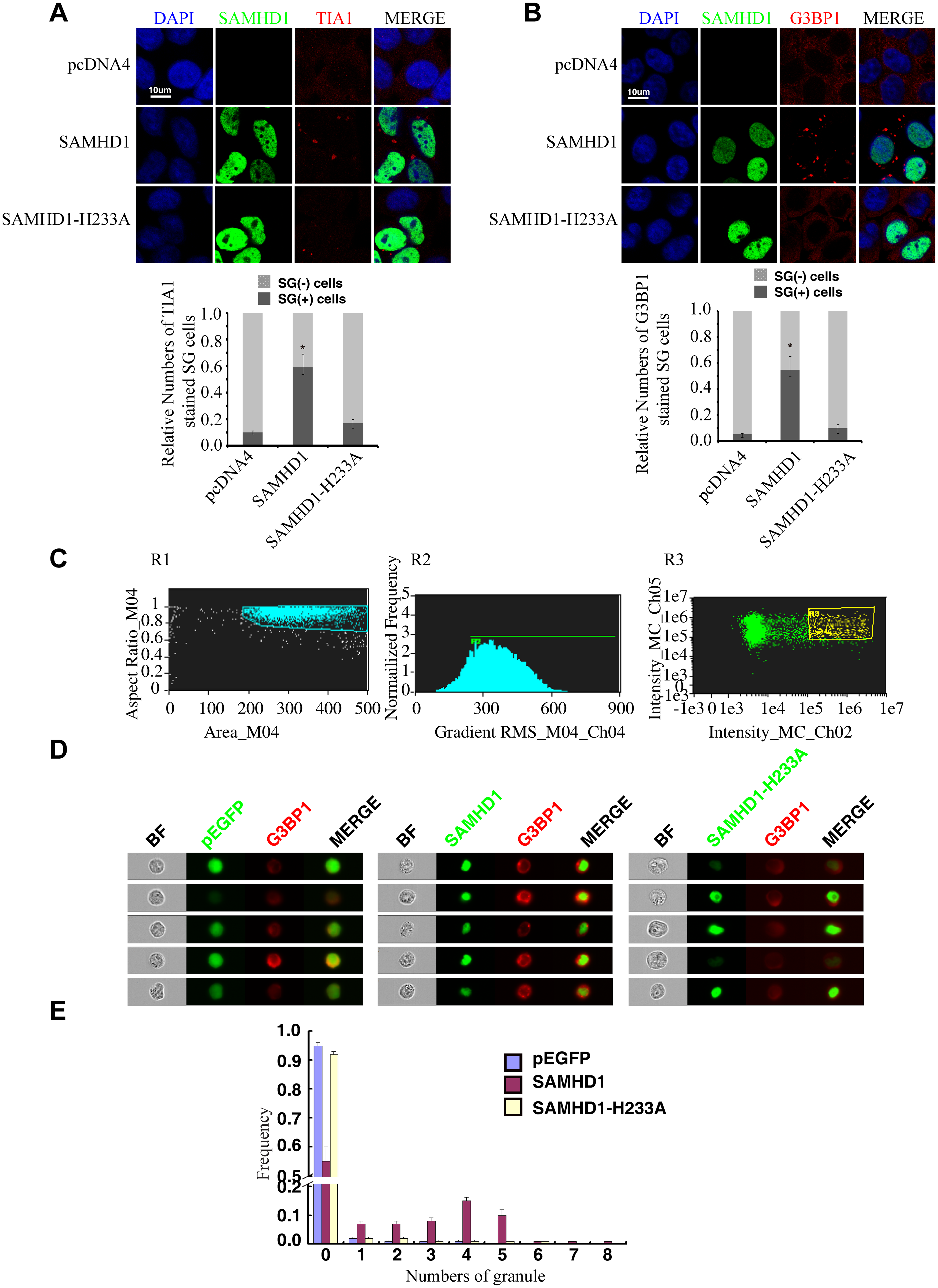 SAMHD1 overexpression induces stress granules formation.