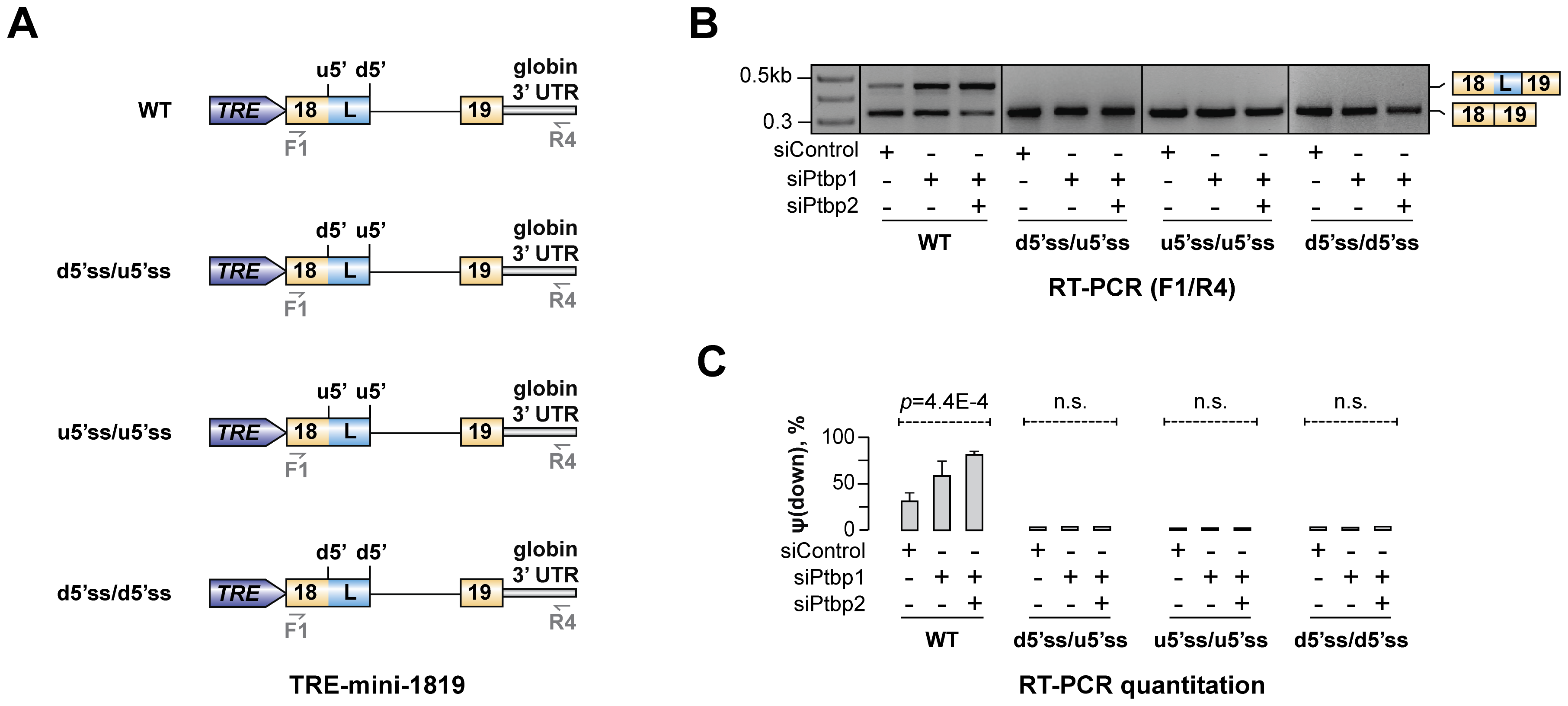 Hps1 regulation depends on u5′ss being weaker than d5′ss.