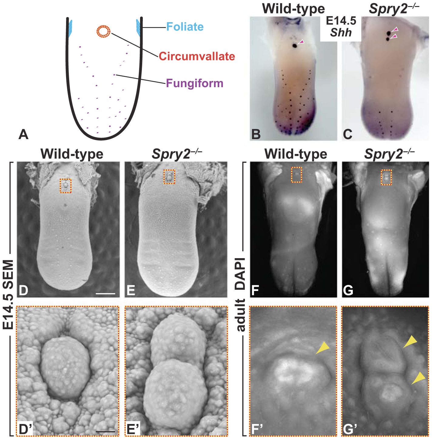 Deletion of <i>Spry2</i> leads to a duplication of the CVP in the posterior tongue.