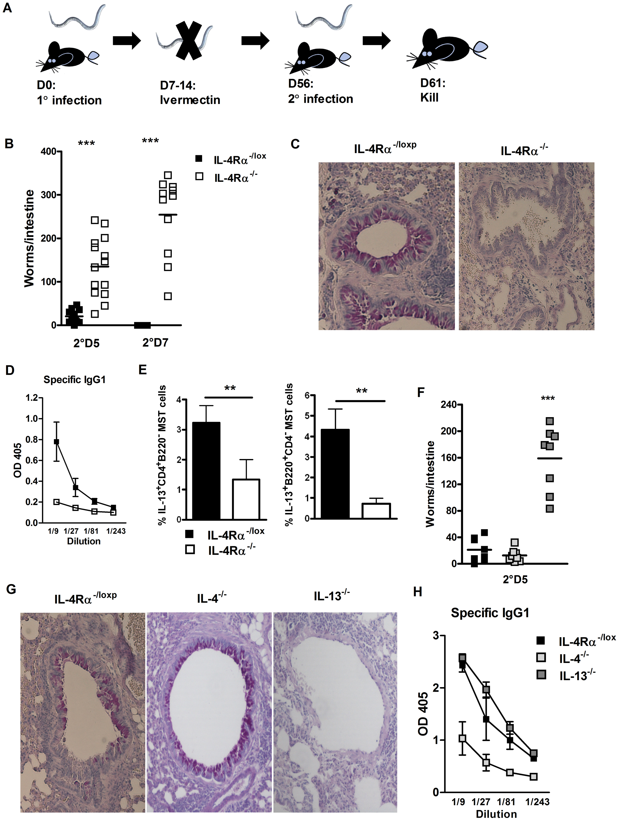 Protective immunity to <i>N. brasiliensis</i> re-infection is IL-13 and IL-4Rα dependent.