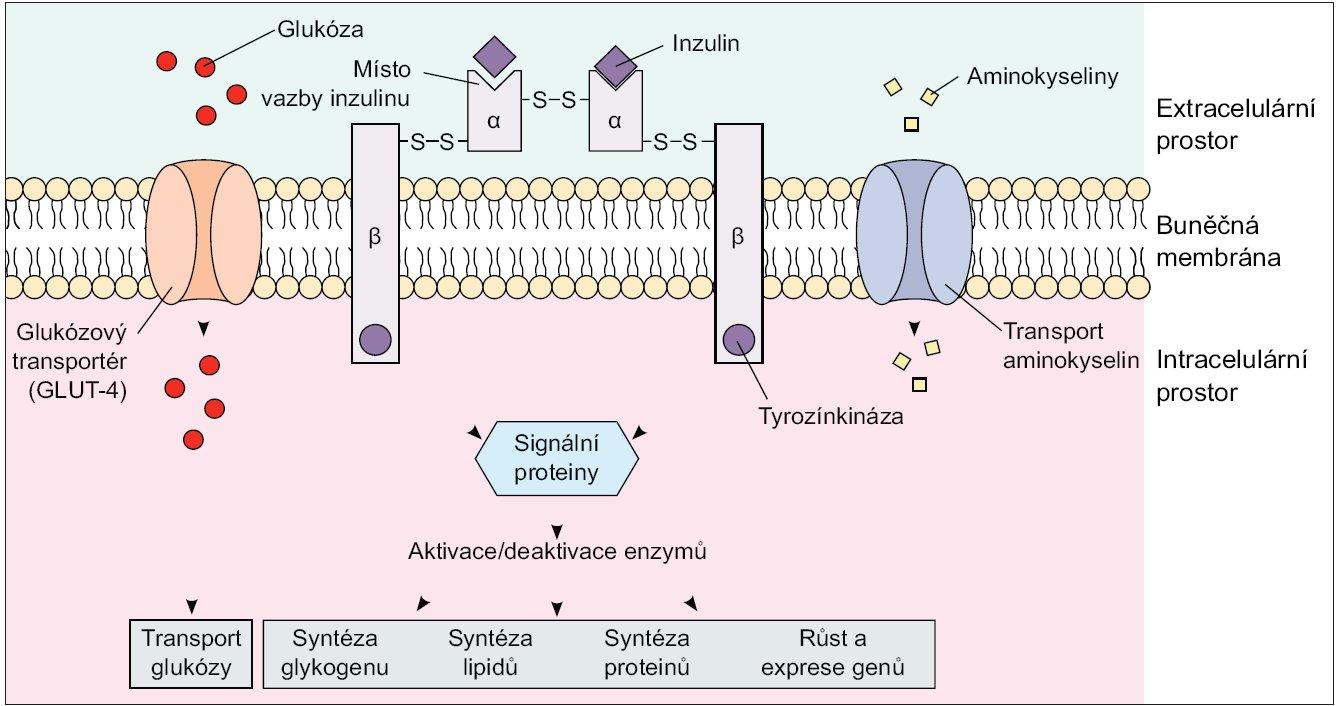 Inzulinový receptor. Upraveno podle http://connection.lww.com/Products/porth7e/Ch43.asp