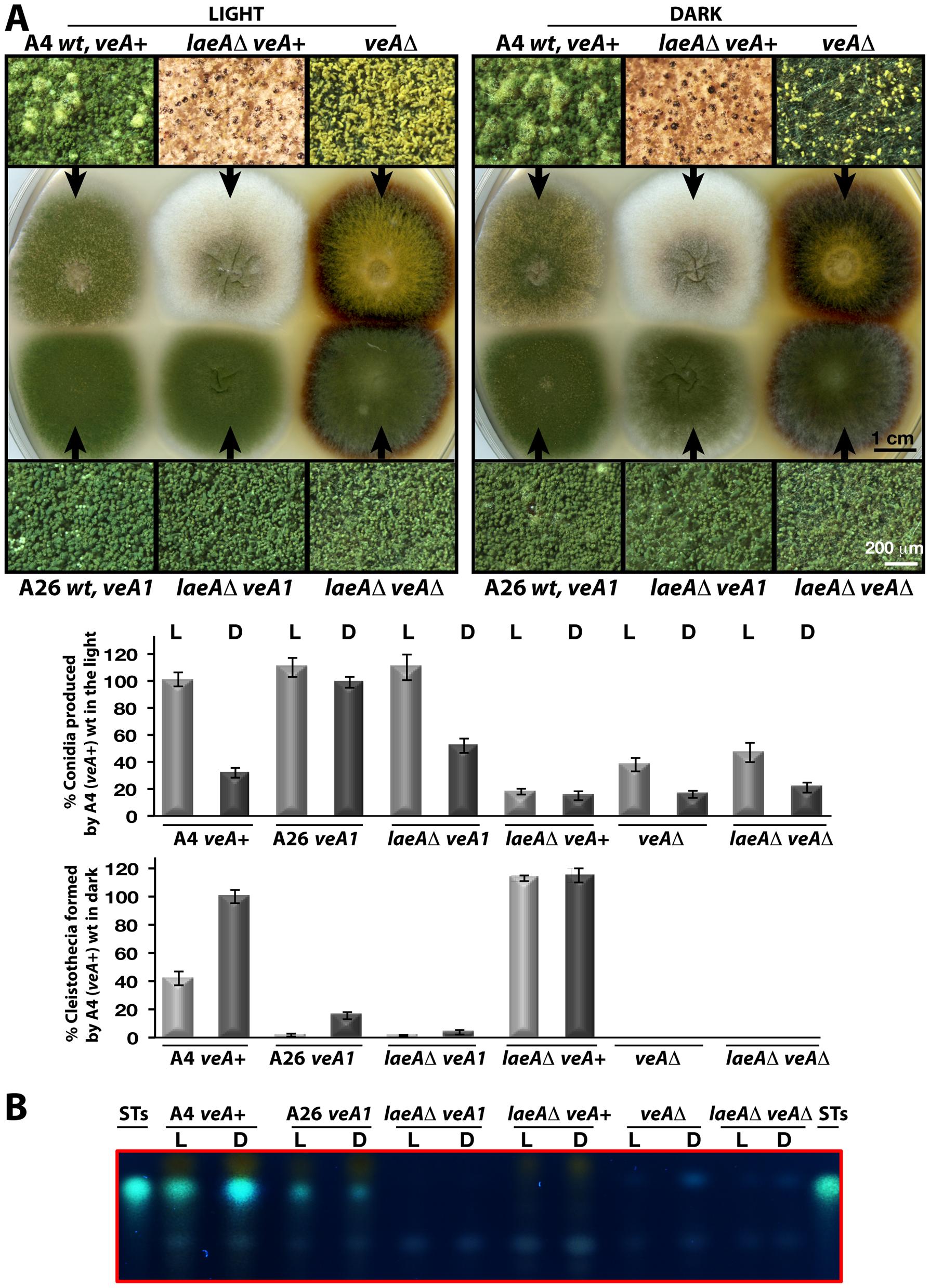 LaeA-VeA as regulators of development and secondary metabolism.