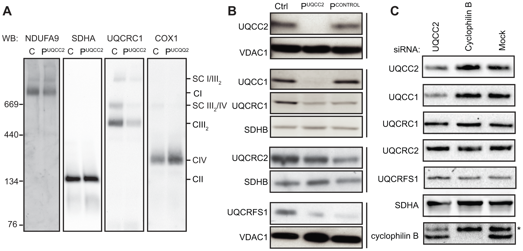 Lack of UQCC2 is associated with aberrant complex III assembly, subunit expression and UQCC1 stability.