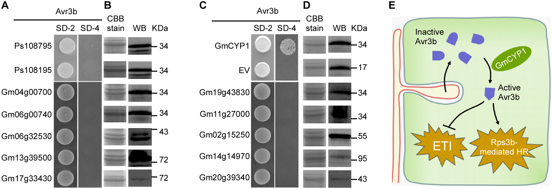 Avr3b specifically interacts with GmCYP1 in soybean.