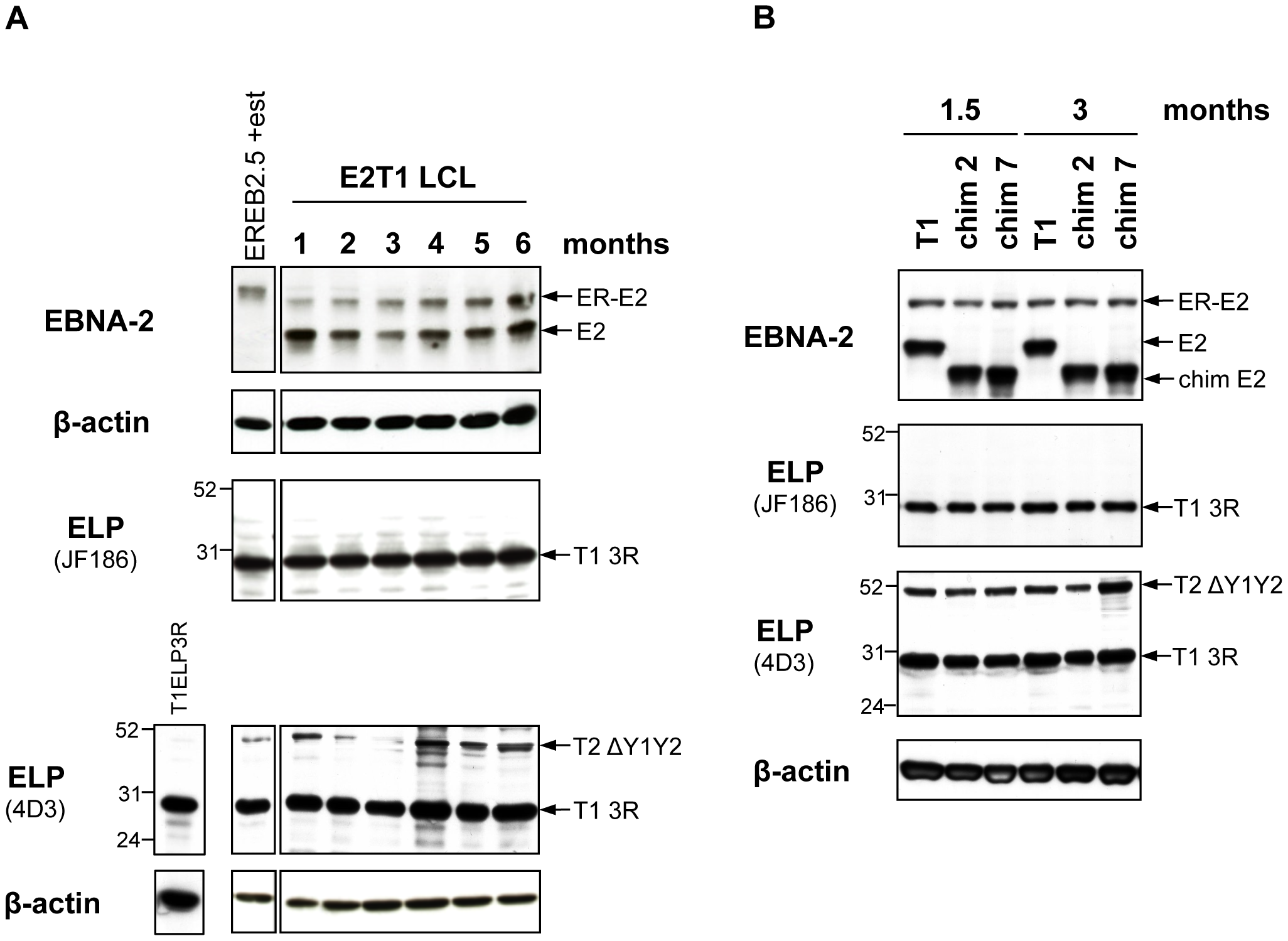 Characterization of oestrogen-independent LCLs established from EREB2.5 cells expressing chimaeras 2 and 7.