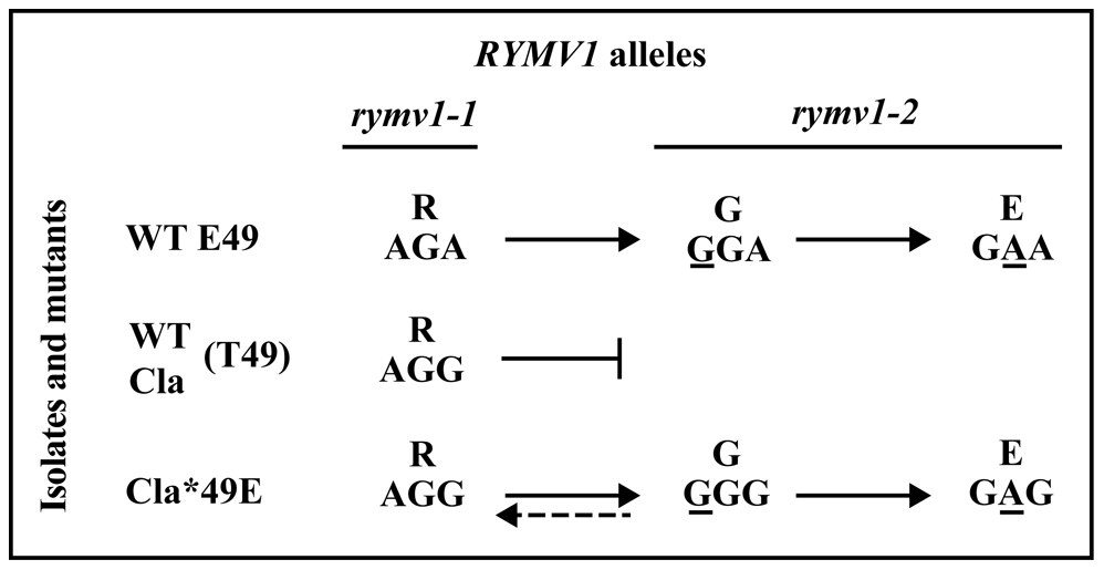 Effect of the amino acid at codon 49 on the <i>rymv1-2</i> mutational pathway.