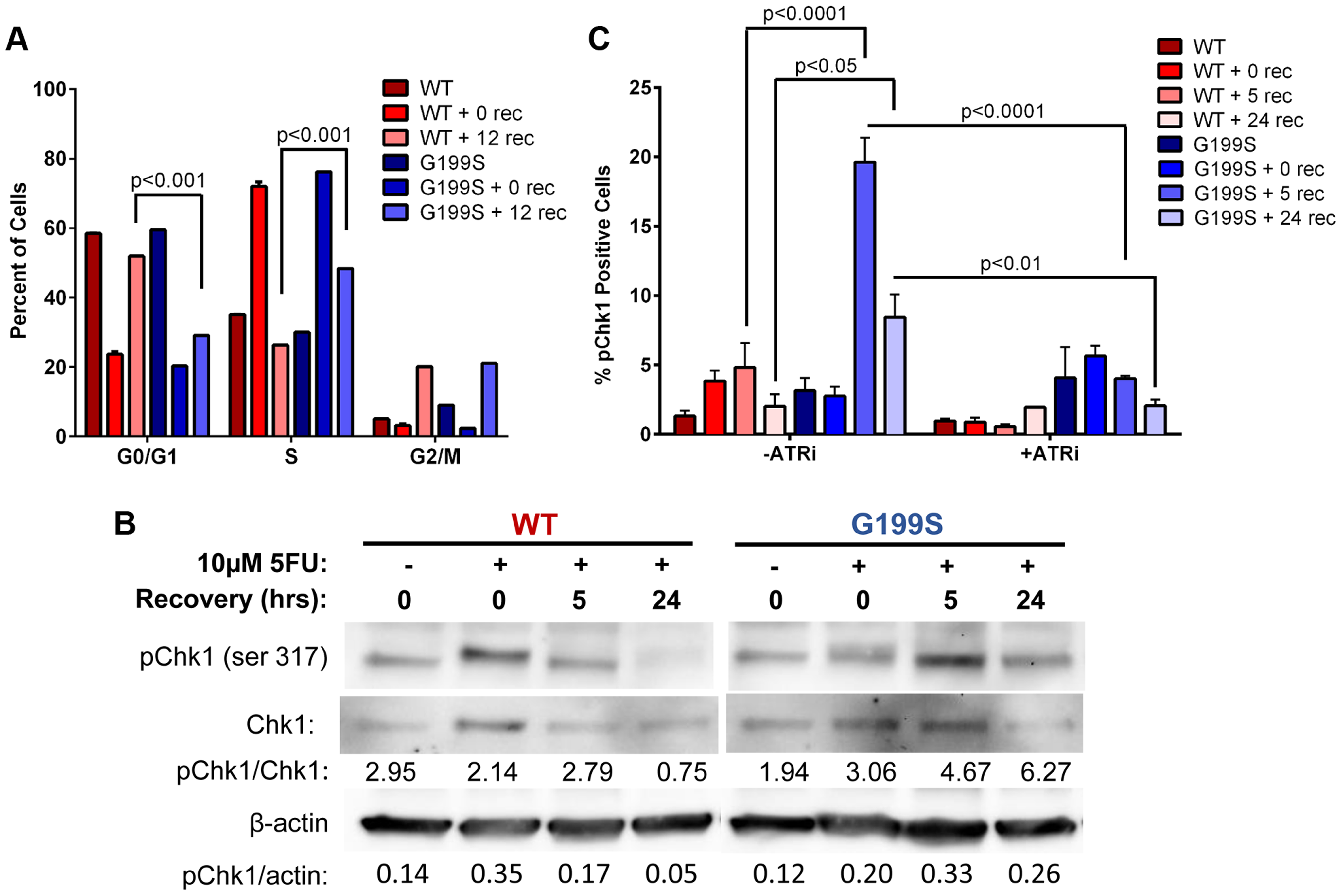 Expression of G199S delays S phase progression and activates a DNA damage response.