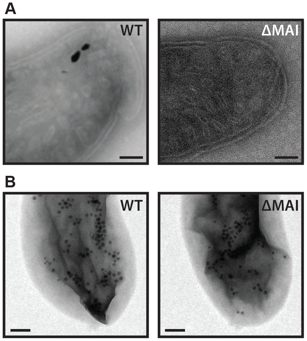 RS-1 MAI deletion cells still make intracellular membranes and iron-phosphorus organelles.
