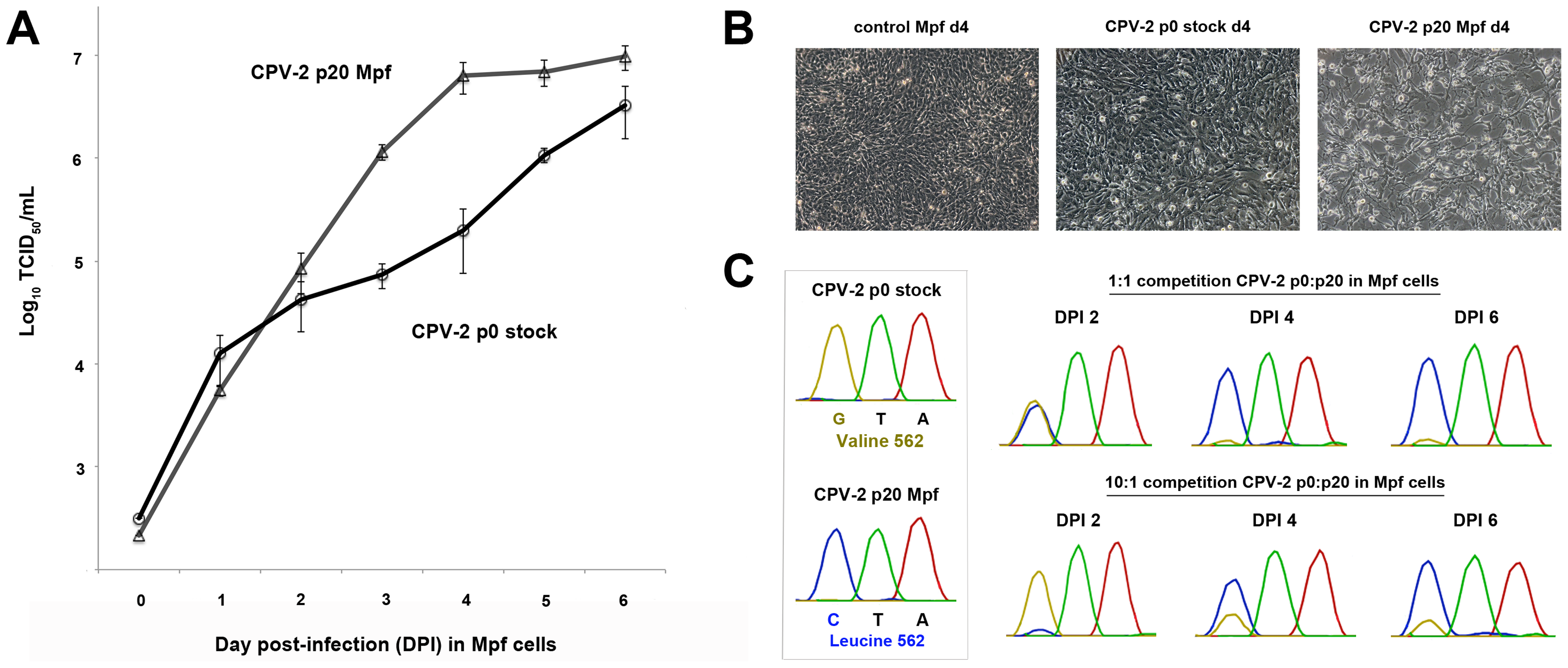 Multi-step single growth curve analysis and competition assays between non-passaged and terminally passaged viruses to detect changes in fitness.