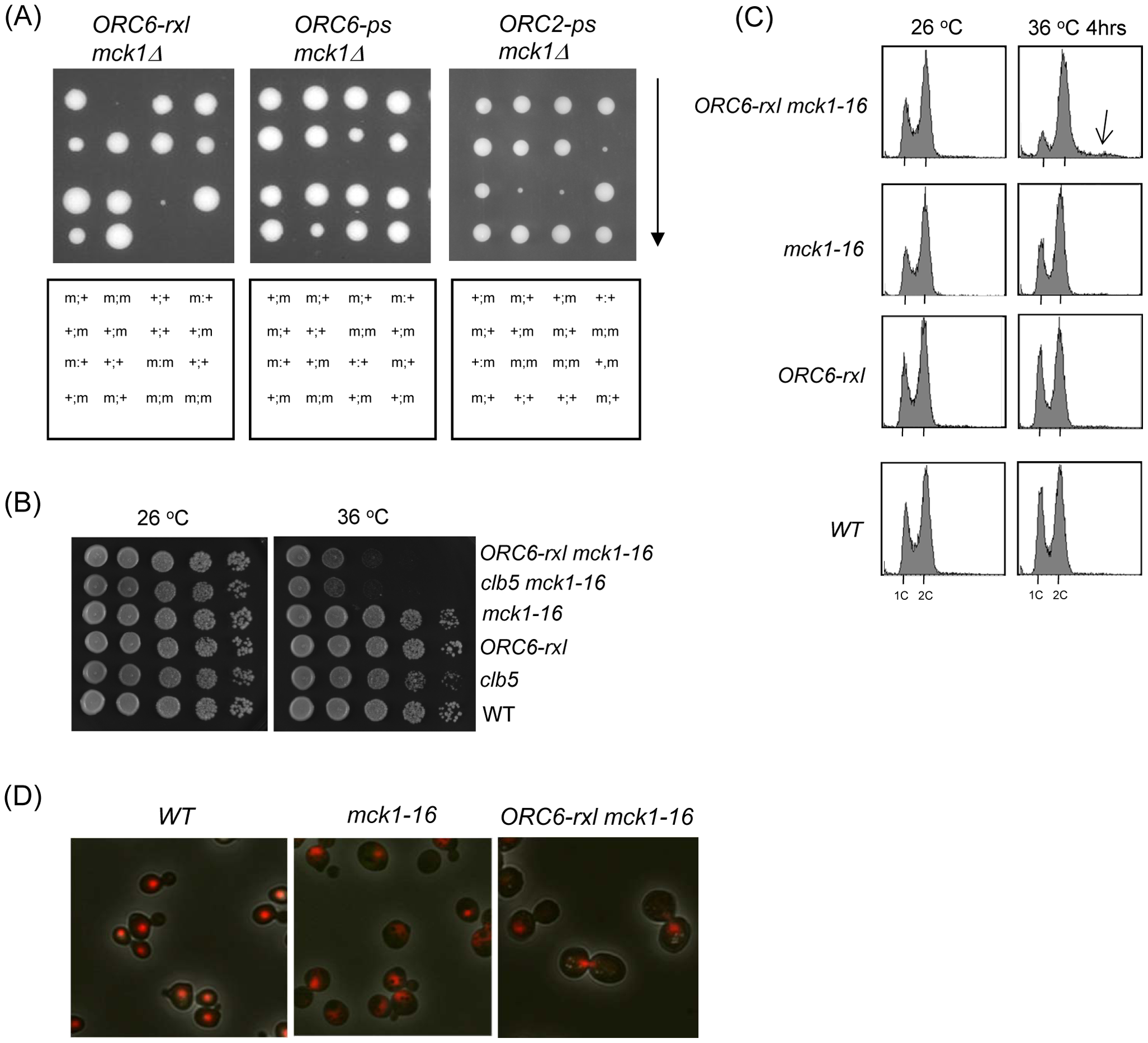 Synthetic lethality and mitotic arrest was induced in the <i>ORC6-rxl mck1-16</i> cells.