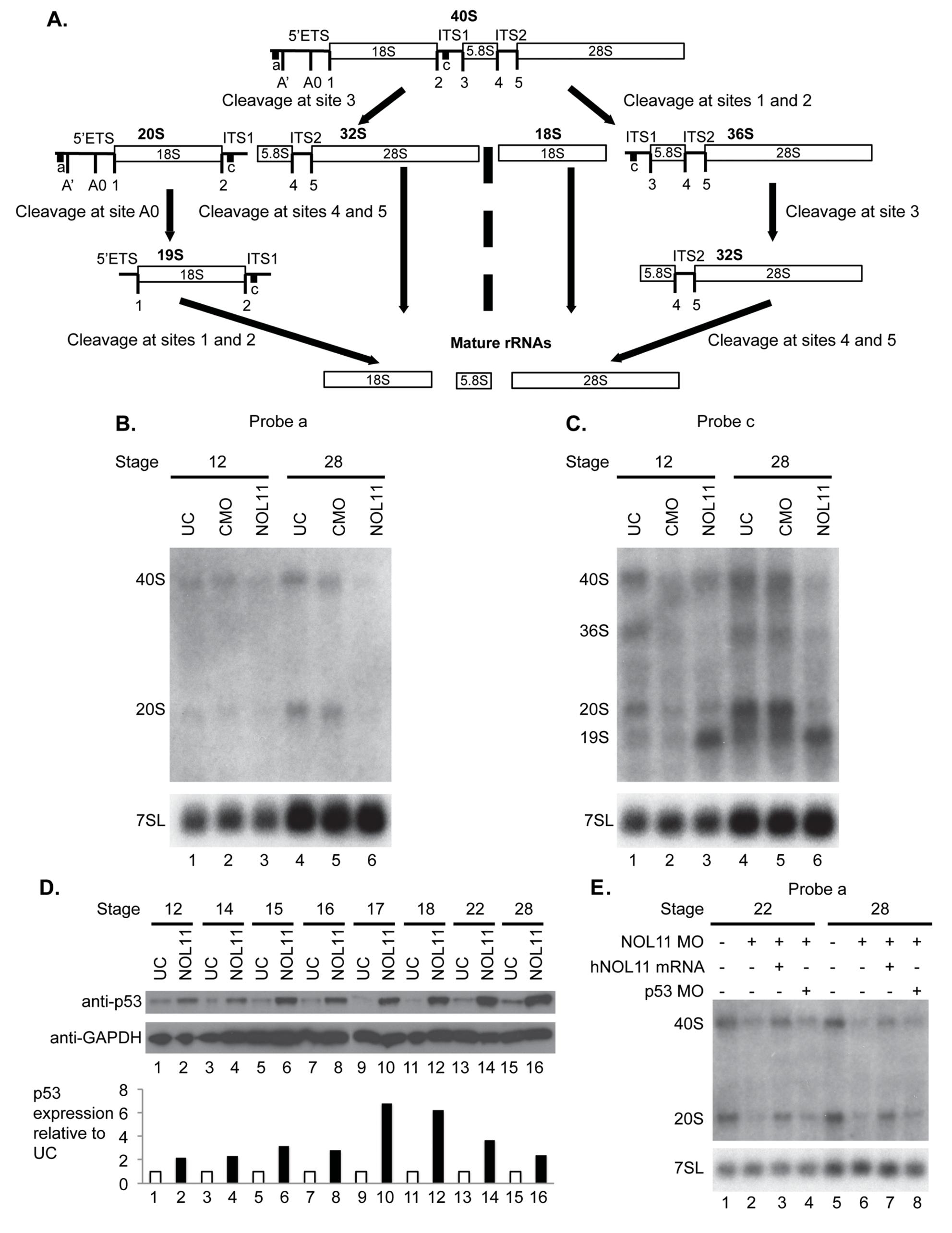 Nol11 depletion impairs rDNA transcription and pre-rRNA processing in <i>X</i>. <i>tropicalis</i>.