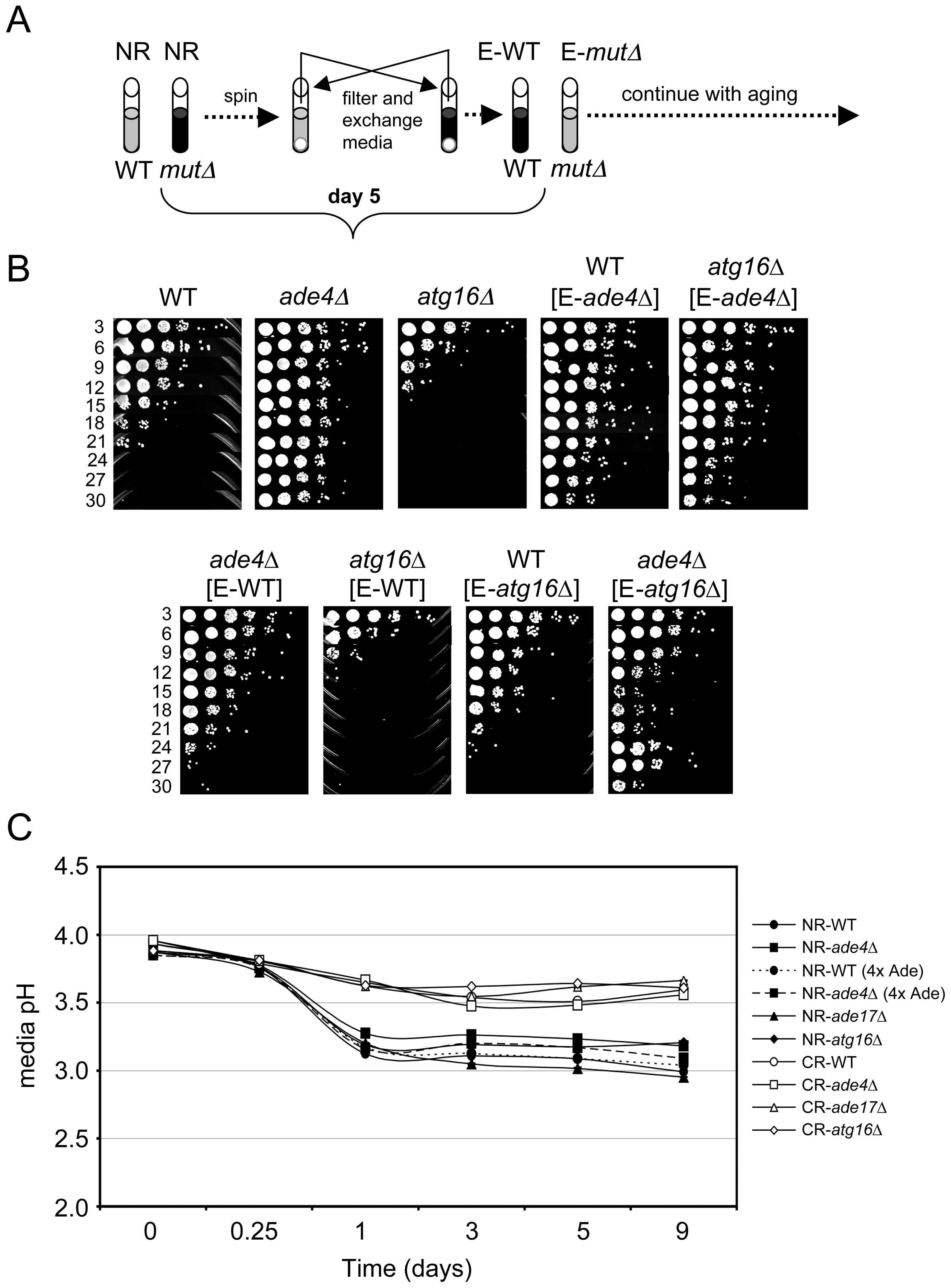 Cell-extrinsic effects of the <i>atg16</i>Δ and <i>ade4</i>Δ mutants on CLS.