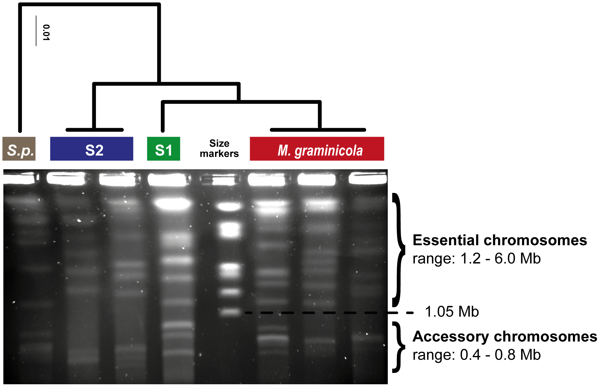 Diversity in essential and accessory chromosomes in the <i>Mycosphaerella</i> clade.
