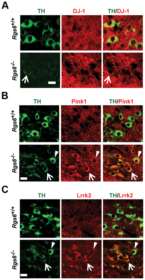 Expression of familial PD genes is altered in degenerating neurons of vSNc.
