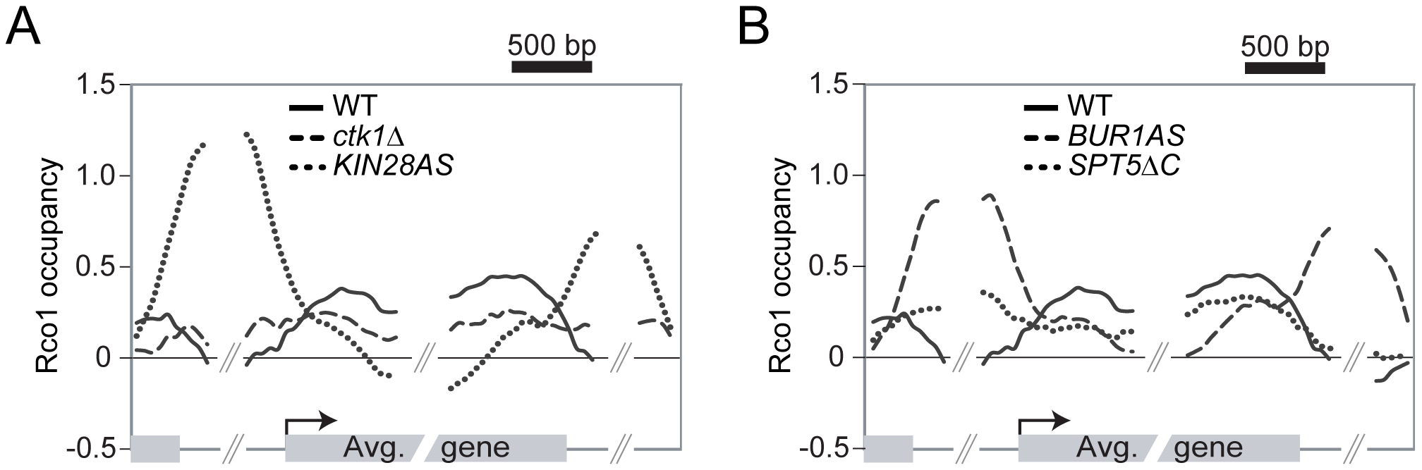 Phosphorylation of the RNAPII and Spt5 CTD are important for the Rpd3S recruitment on genes.