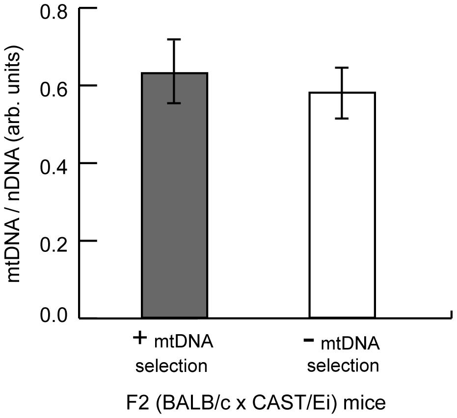 MtDNA copy number regulation in the spleen has no effect on mtDNA segregation.