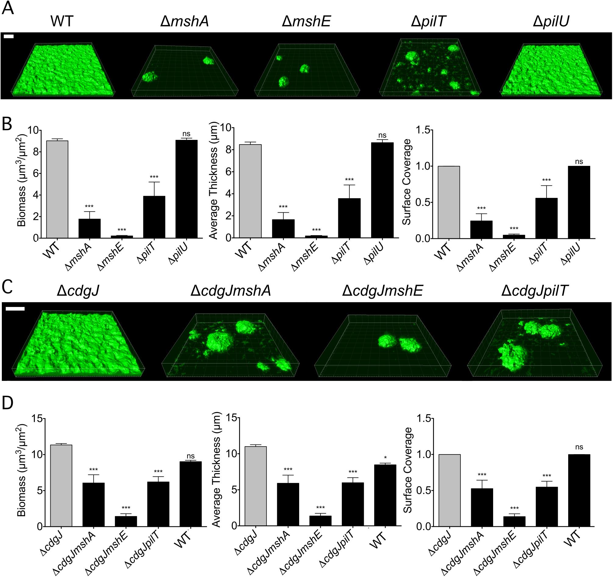 <i>mshA</i>, <i>mshE</i>, and <i>pilT</i> mutants are impaired in biofilm formation.