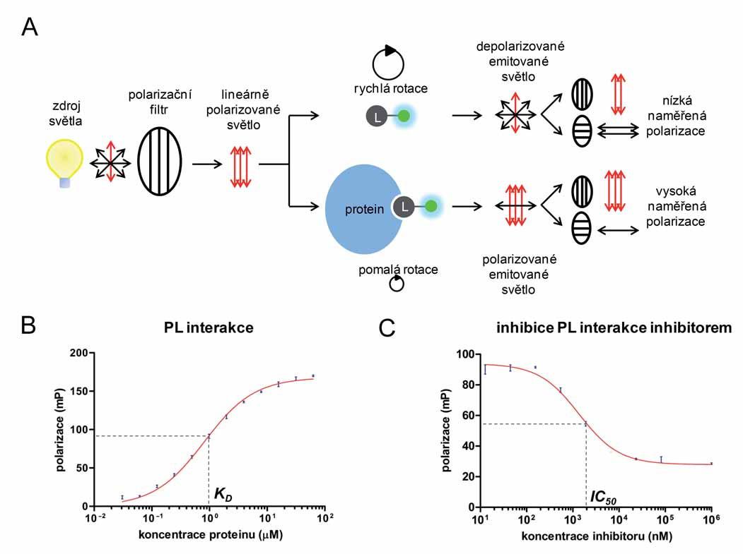 Princip metody fluorescenční polarizace (A), měření interakce proteinu s ligandem (B) a inhibice interakce proteinu s ligandem (C) metodou FP.  A. Fluoroforem značený ligand (L) je ozářen lineárně polarizovaným světlem. V důsledku jeho vysoké rotace dochází k emisi depolarizovaného světla a k naměření nízké hodnoty fluorescenční polarizace. Interakce ligandu s větší molekulou (proteinem) způsobí zpomalení jeho rotace a emisi polarizovaného světla. Převzato z [13]. B. Titrace fluoroforem značeného ligandu o konstantní koncentraci vzrůstající koncentrací proteinu. C. Měření IC50 inhibitoru protein-ligandové interakce. Směs proteinu a fluoroforem značeného ligandu byla titrována vzrůstající koncentrací inhibitoru.