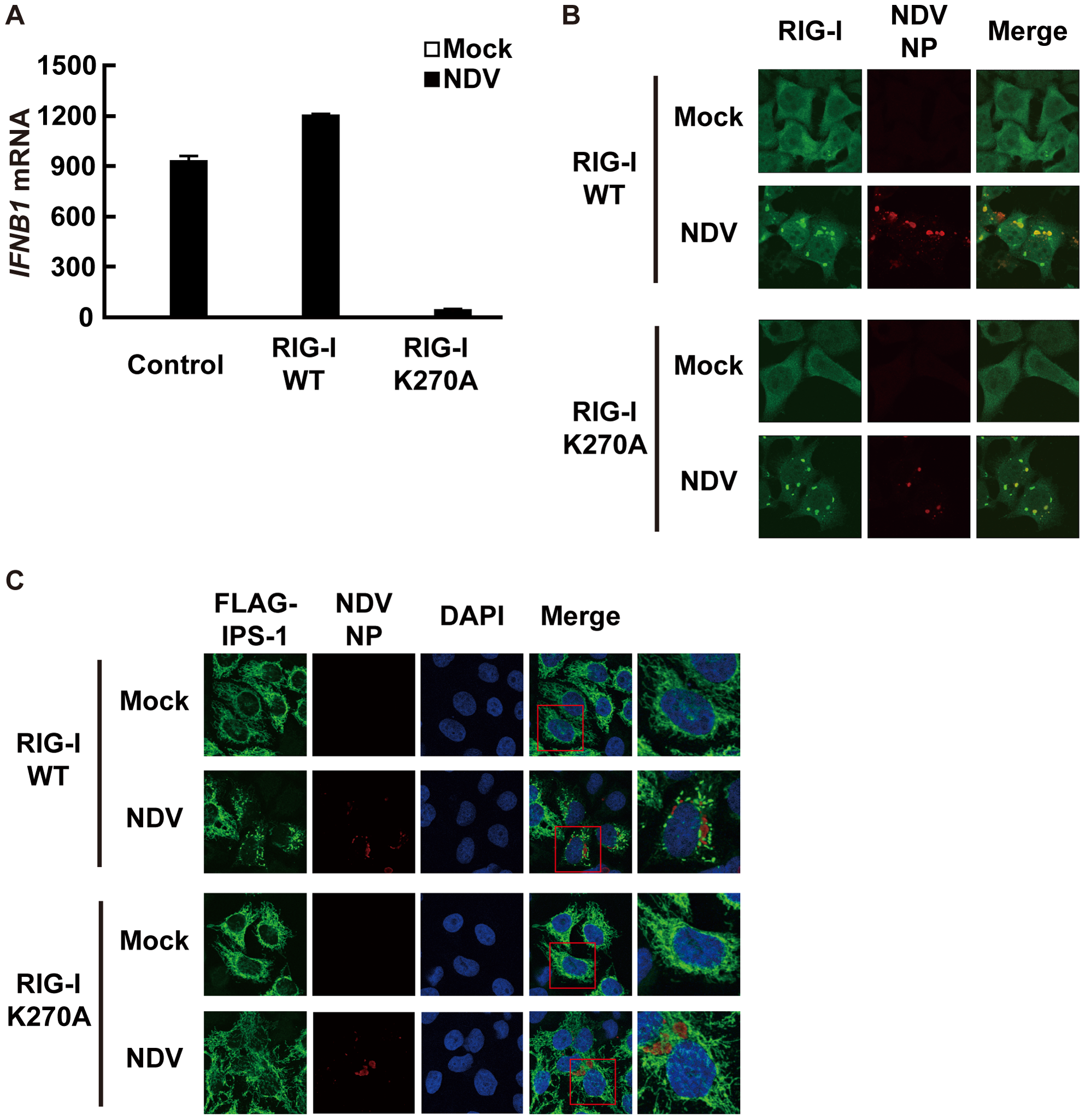 A dominant negative mutant of RIG-I fails to induce IPS-1 redistribution.