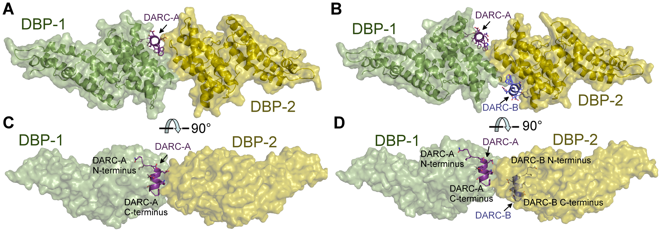 Crystal Structure of the DBP-RII∶DARC heterotrimer and heterotetramer.