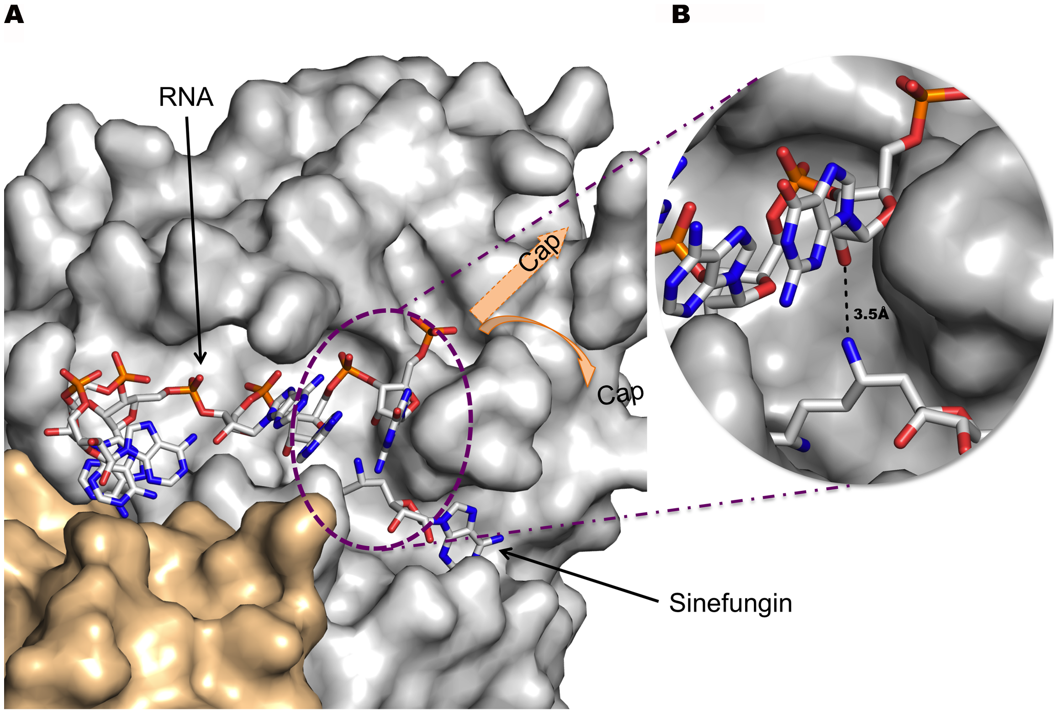 Stick model of RNA bound to the nsp16 RNA binding groove and Sinefungin in the methyltransferase active site.