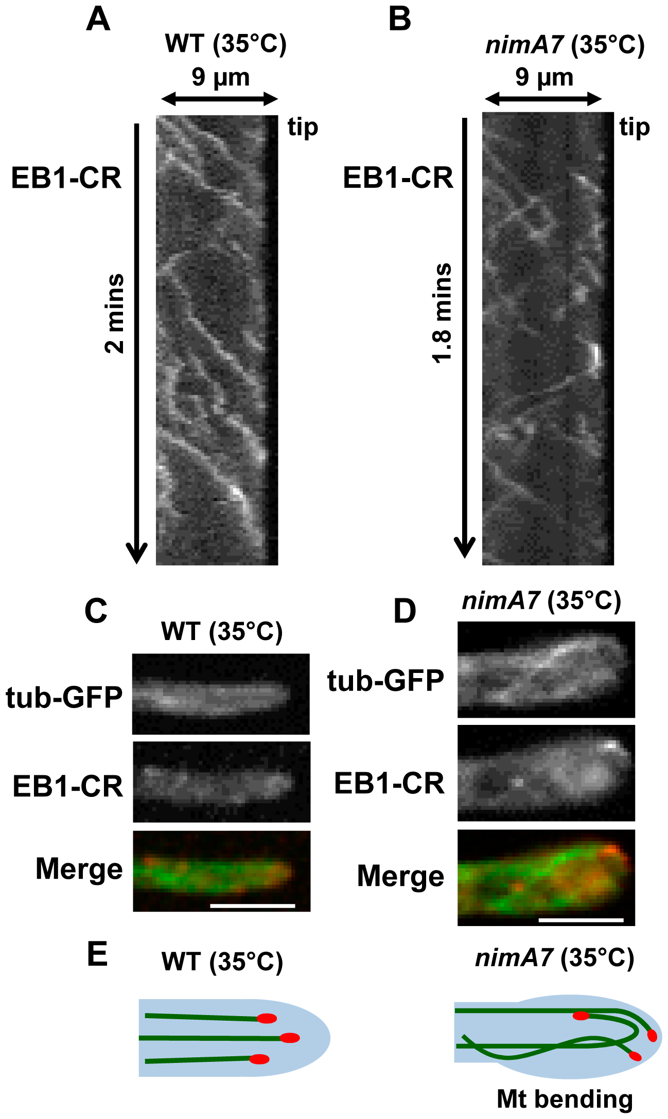 Partial inhibition of NIMA results in alteration of microtubule dynamics and EB1 behavior.