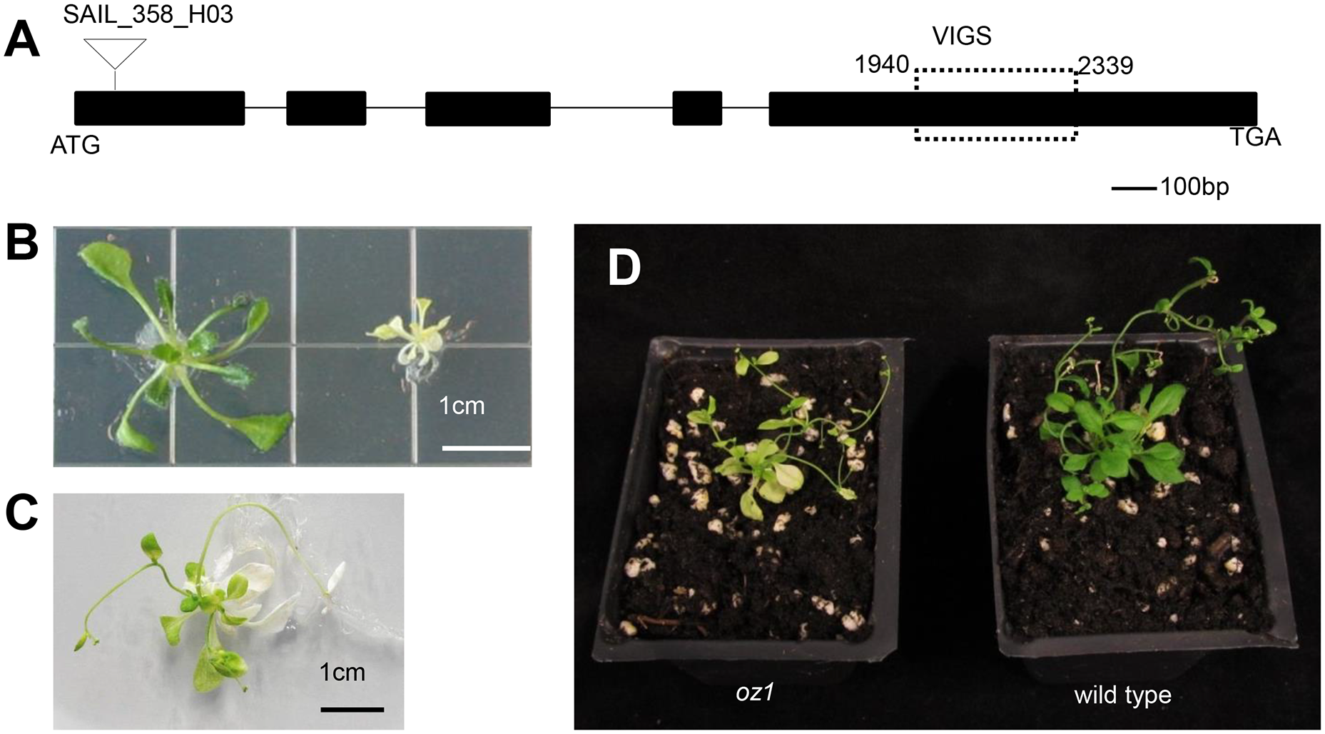 <i>OZ1</i> (At5g17790) gene structure and mutant phenotype.