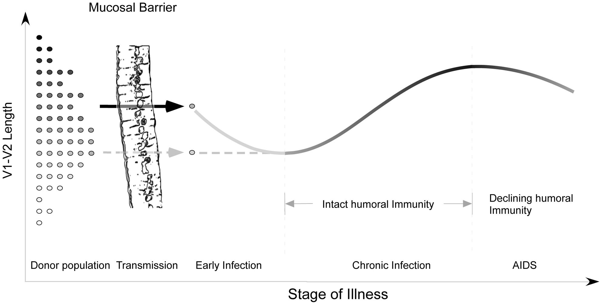 Proposed evolution of V1V2 loop size change during transmission and HIV infection.